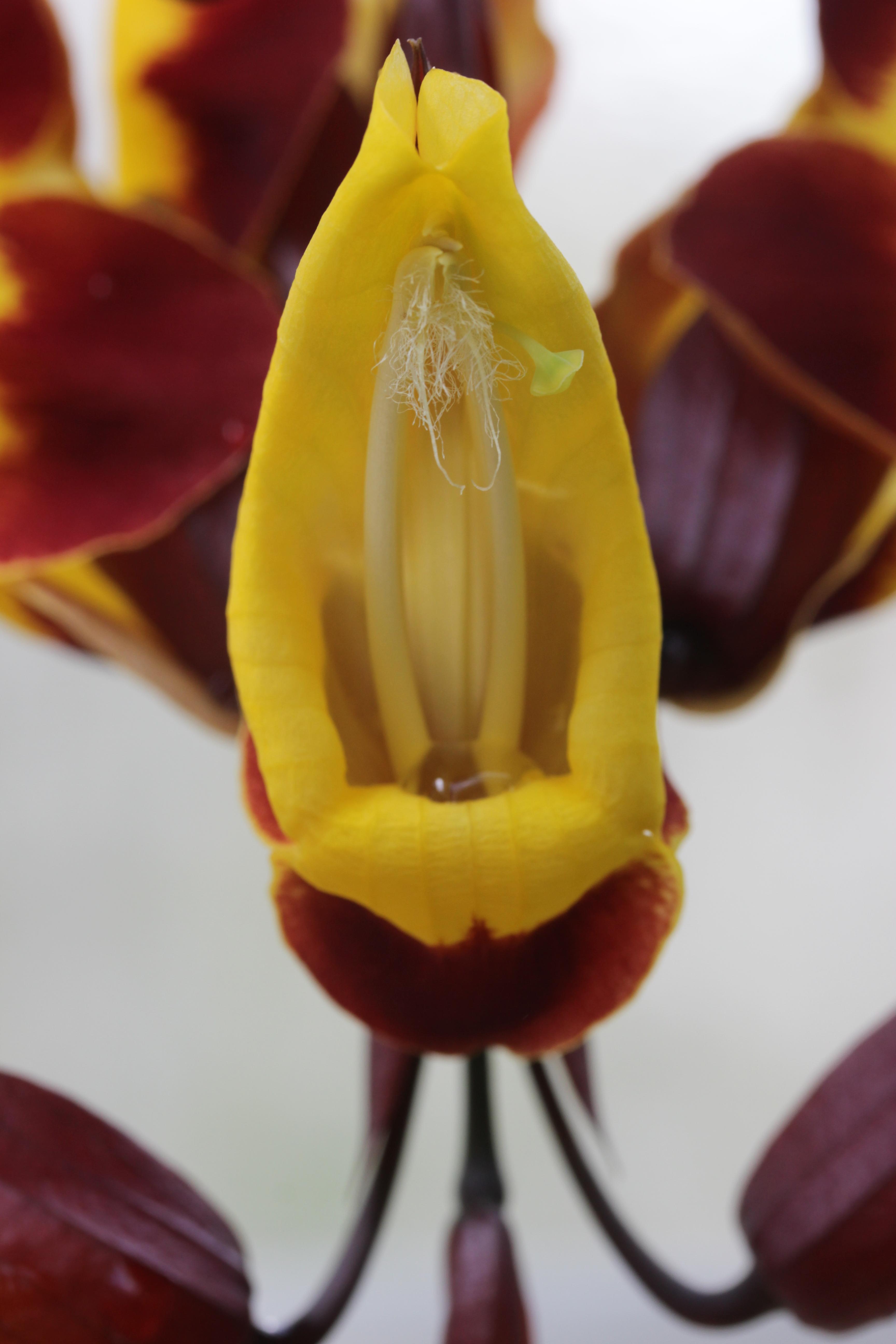 File:Mysore trumpetvine - Thunbergia mysorensis - panoramio (1).jpg ...