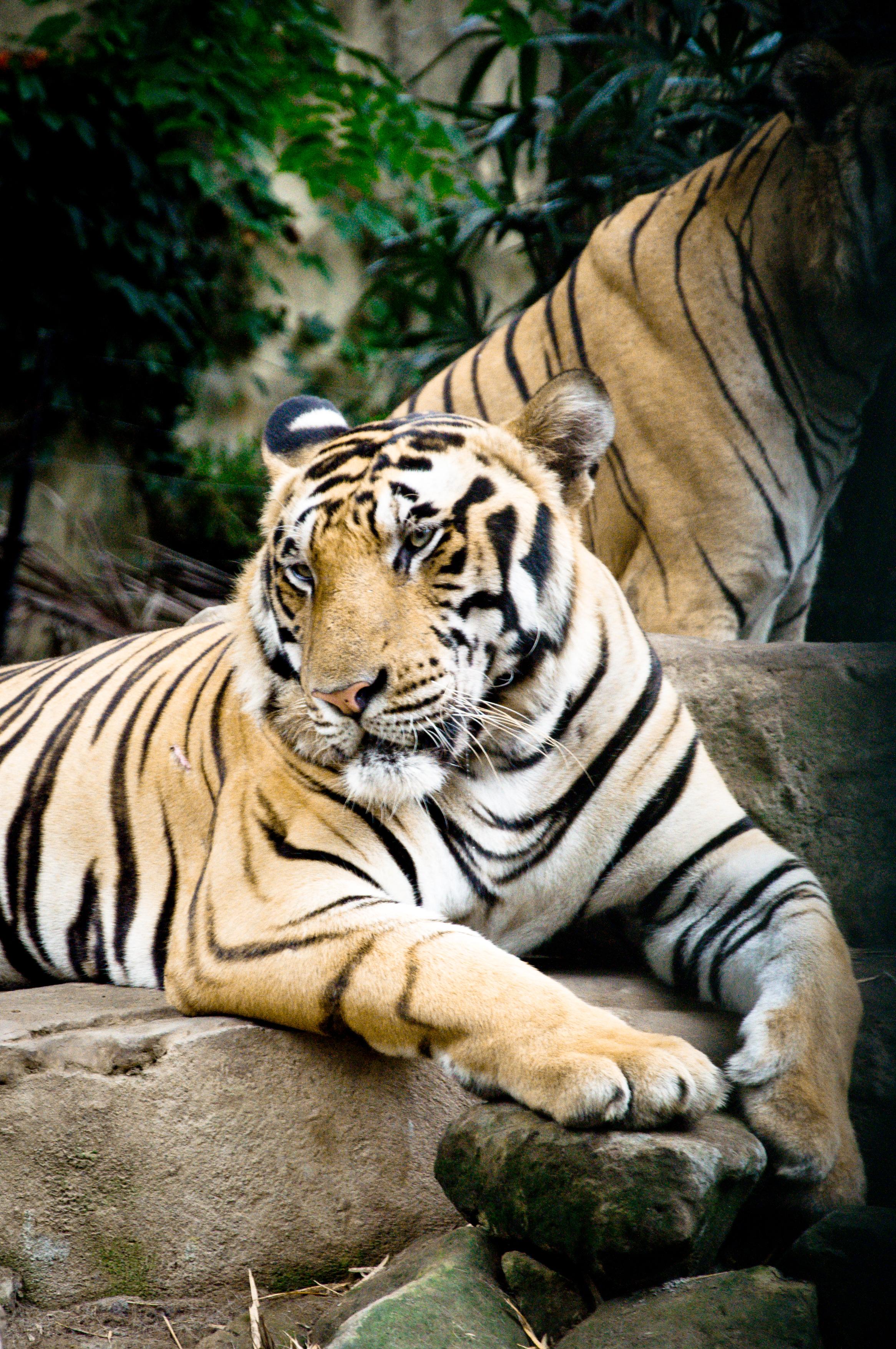 Tiger, Aggression, Jungle, Mammal, Nature, HQ Photo