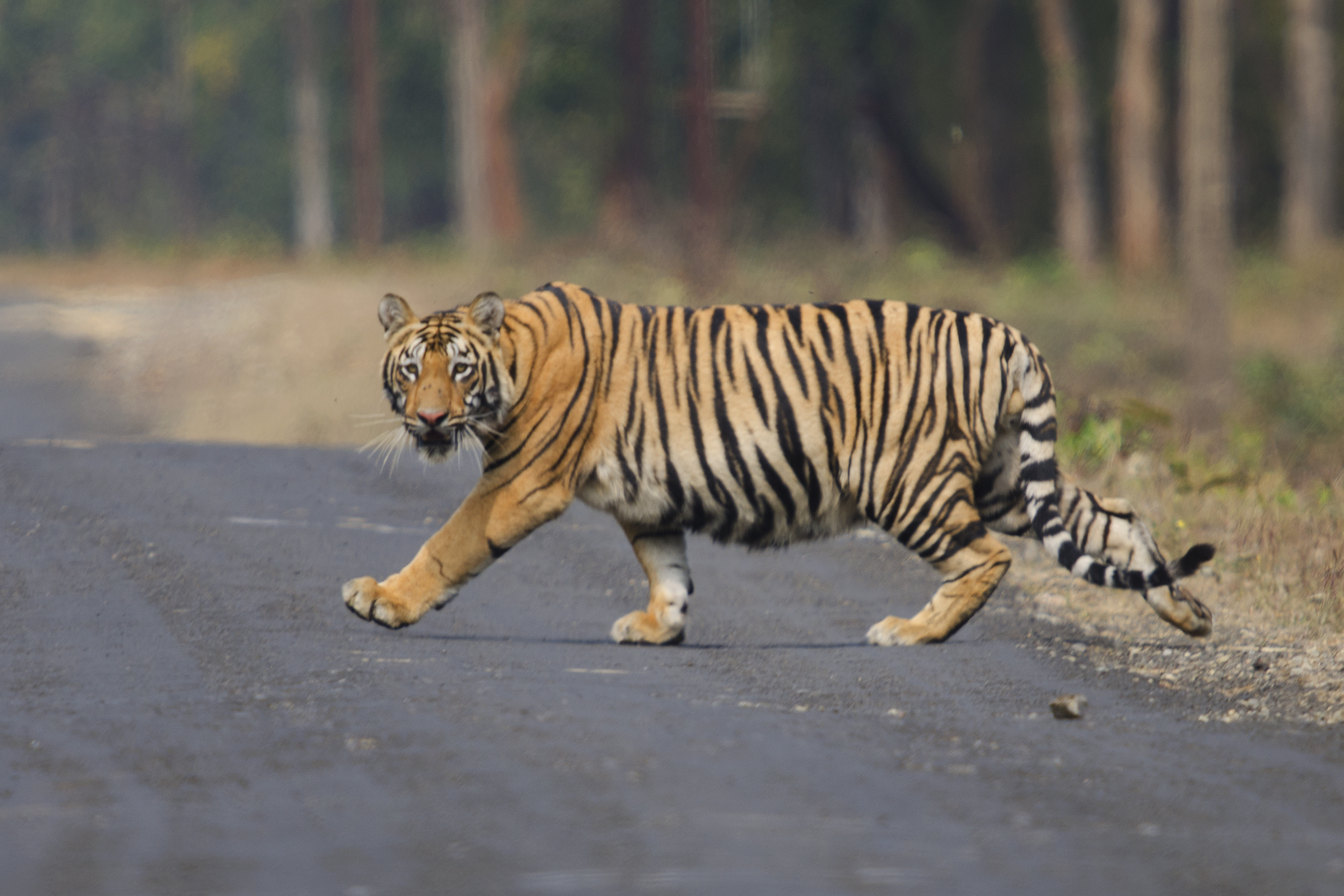 Asian infrastructure boom could be end of the road for tigers | WWF