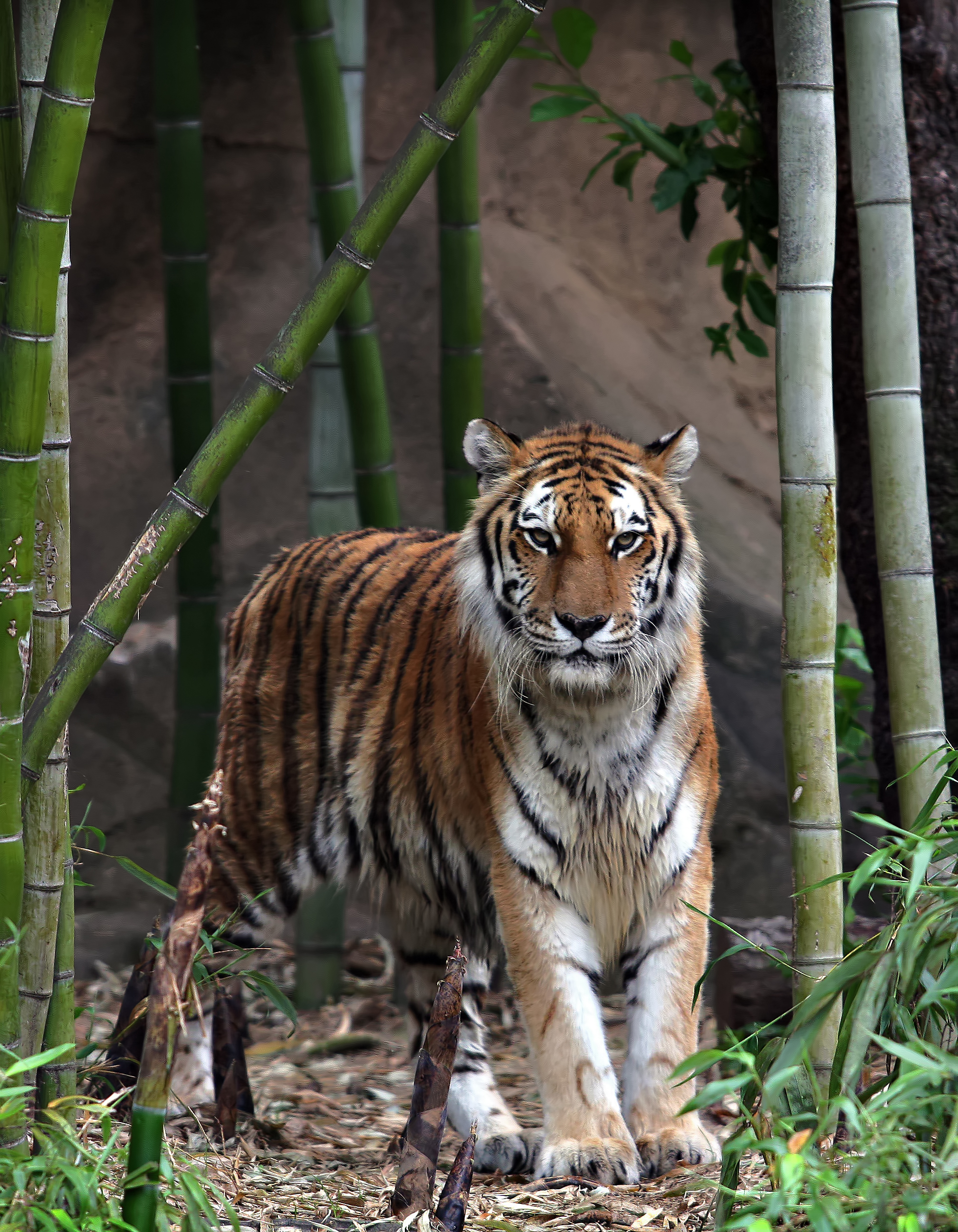 Tiger, Animal, Bamboo, Big, Cat, HQ Photo
