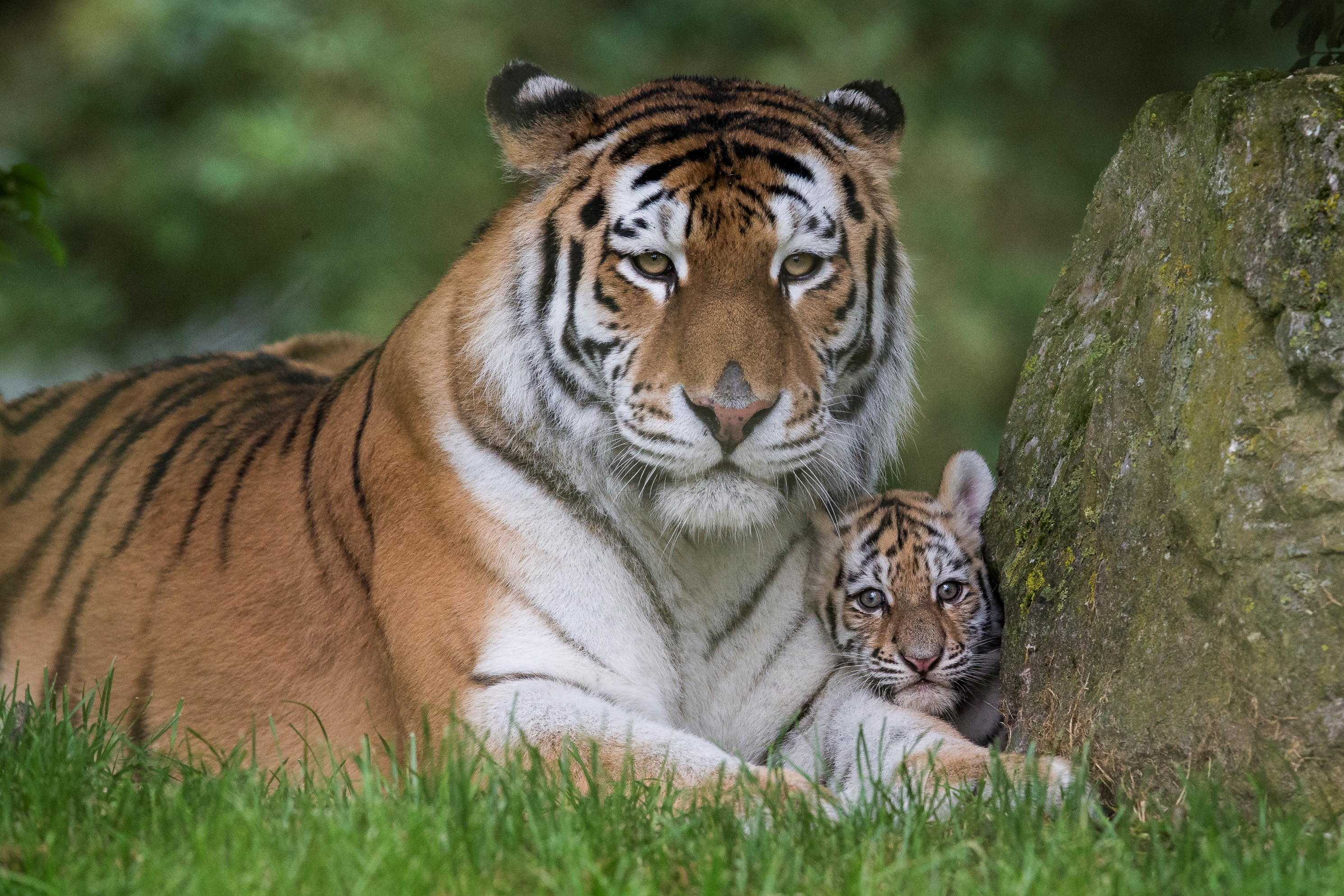 UPDATE! Our tiger cubs have been named!, at The Zoo