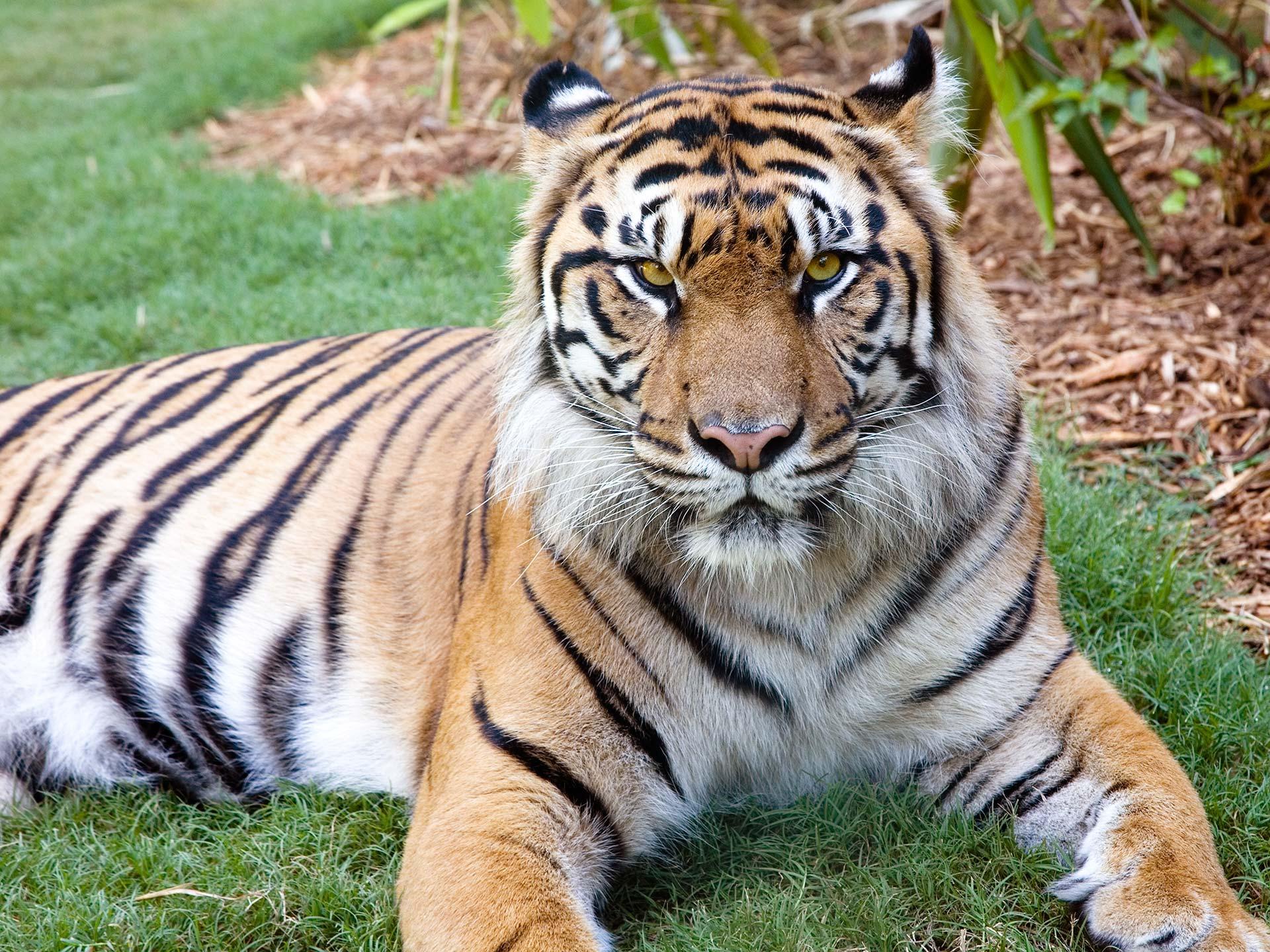 Sumatran Tiger - Zoo Atlanta