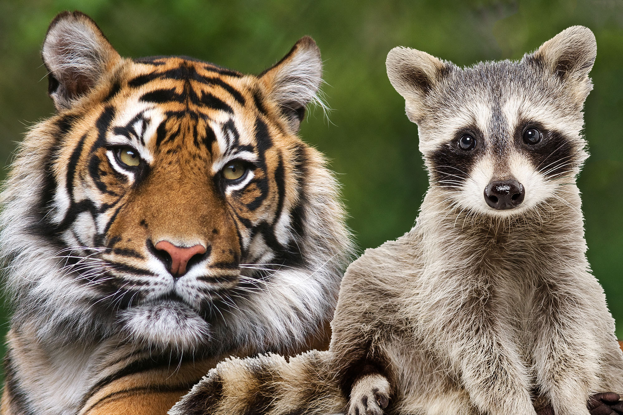 Some New Yorkers can't tell the difference between a tiger and a raccoon