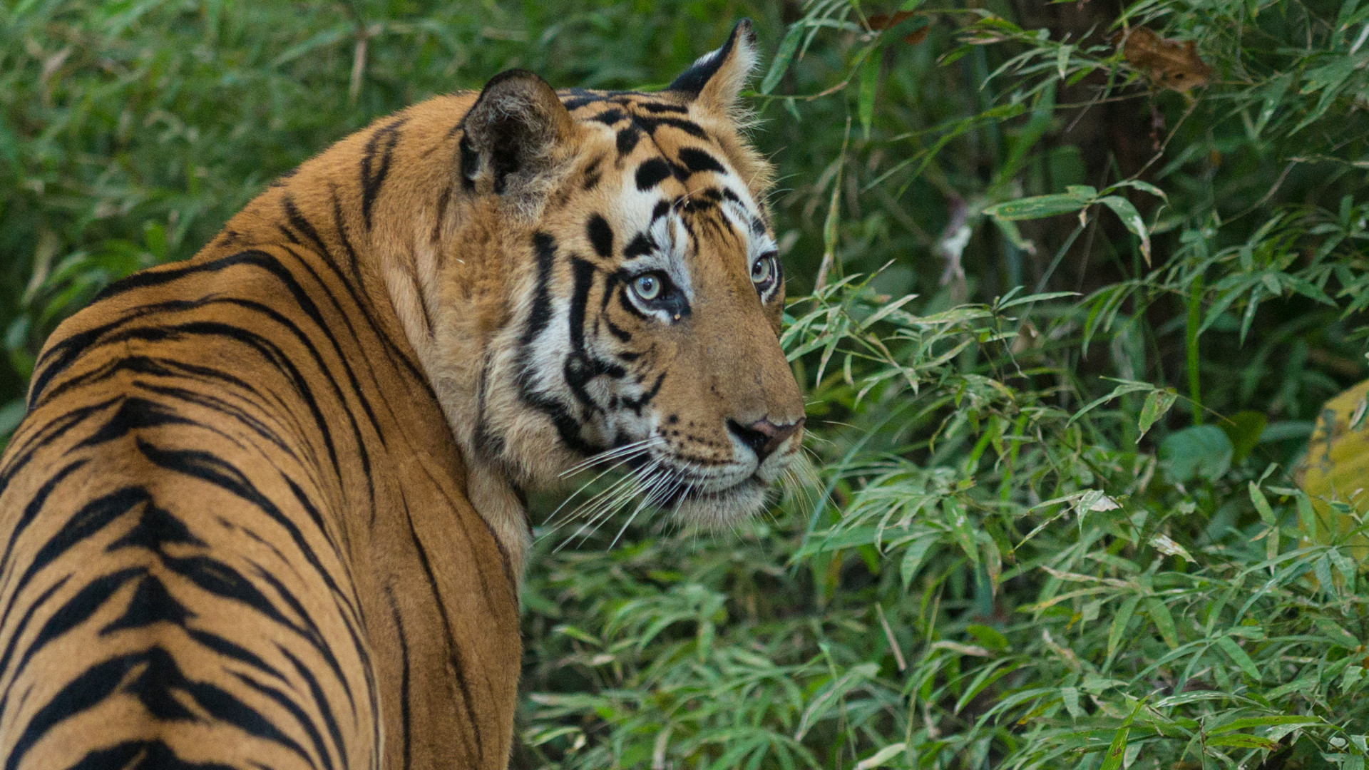 The Surprising Ways Tigers Benefit Farmers and Livestock Owners ...