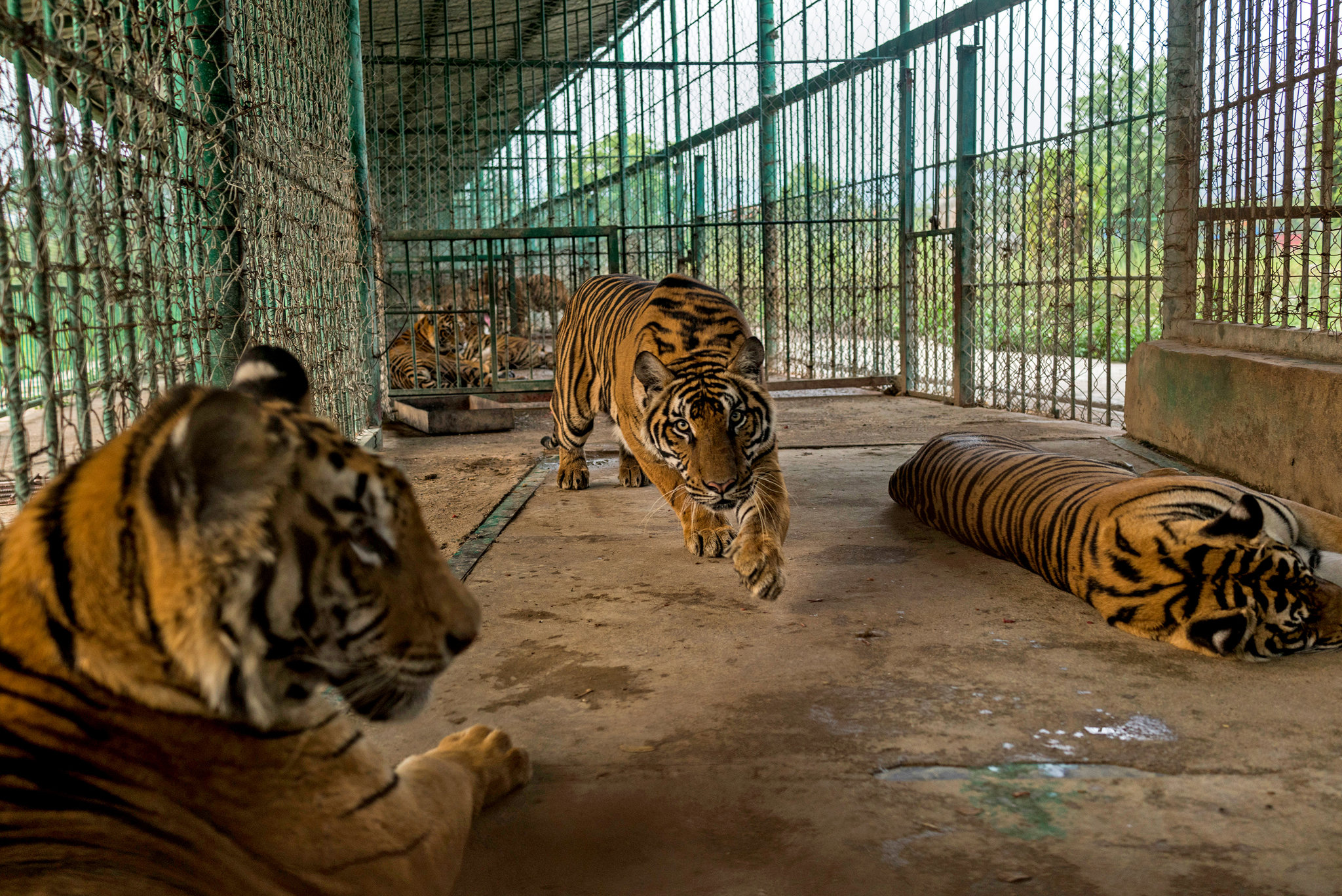 Asia's Illegal Wildlife Trade Makes Tigers a Farm-to-Table Meal ...