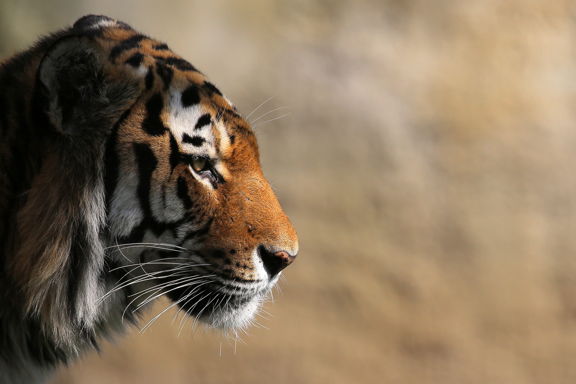 In New Park, China Creates a Refuge for the Imperiled Siberian Tiger ...