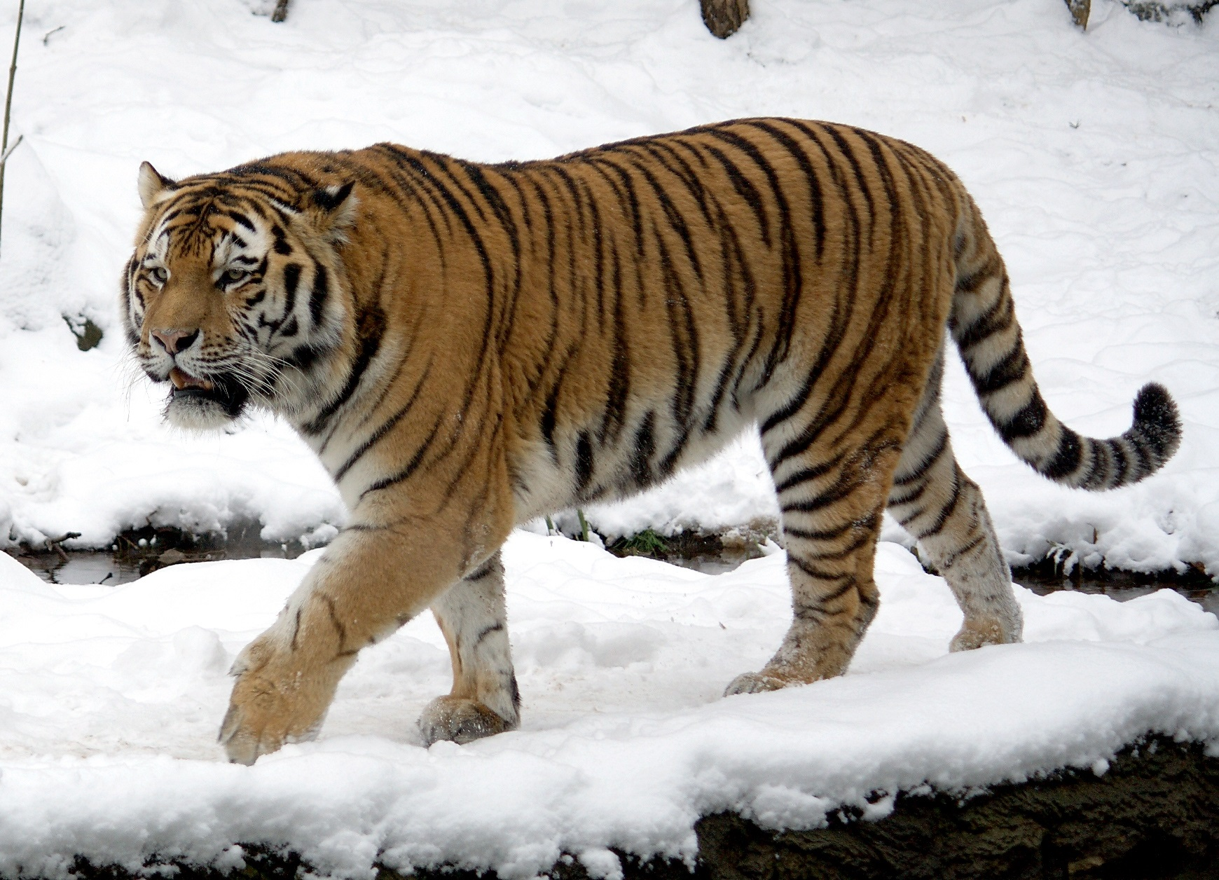 Siberian Tiger | The Parody Wiki | FANDOM powered by Wikia