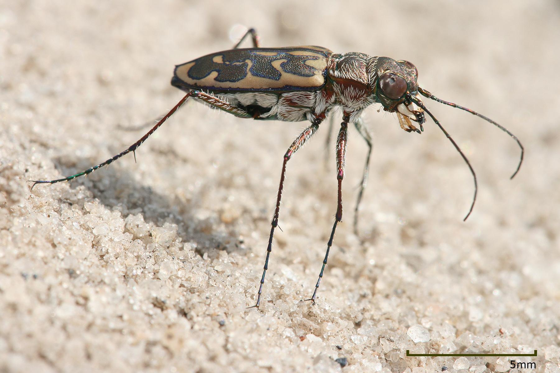 Tiger beetle - Wikipedia