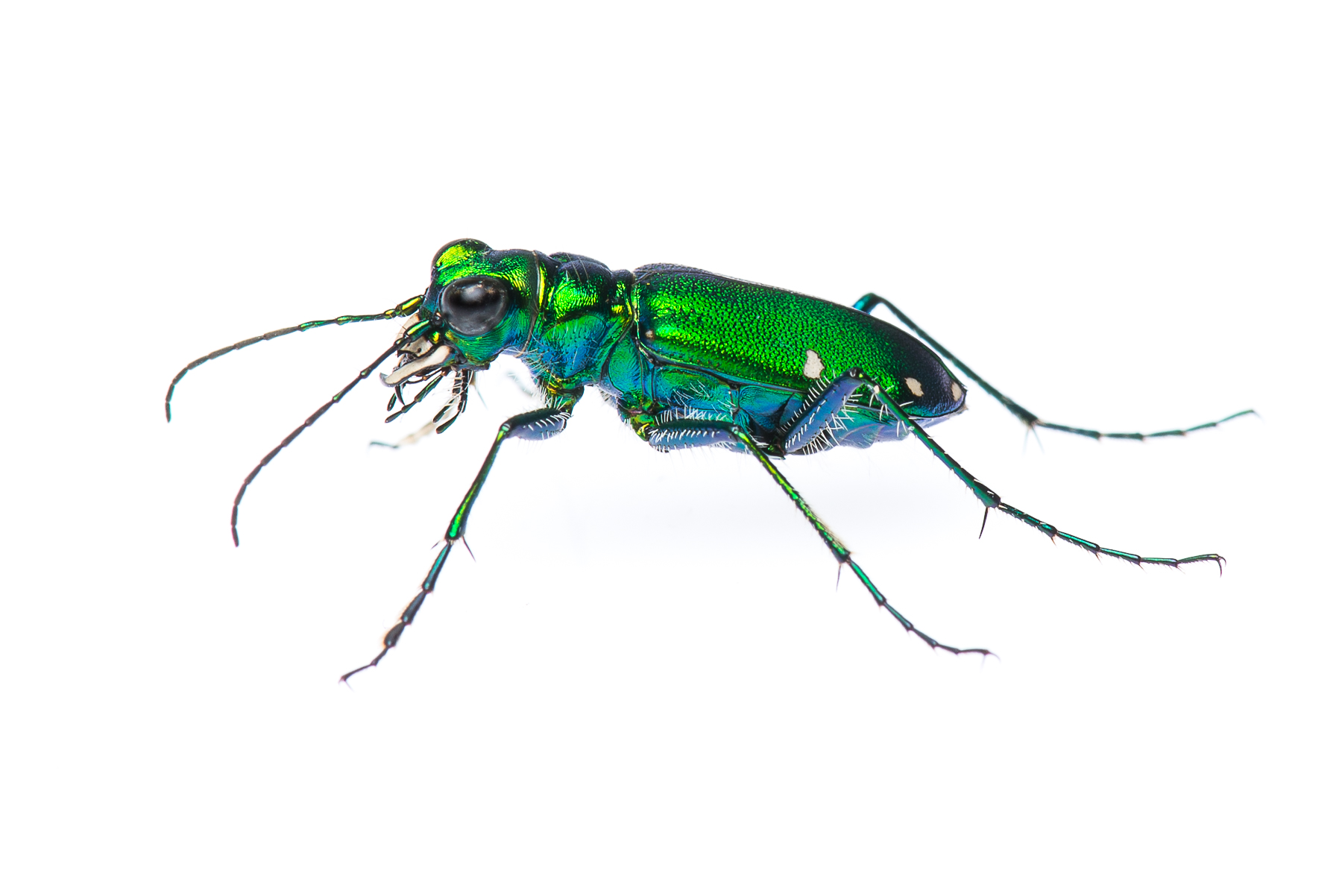 Six-spotted Tiger Beetle | The Roger Tory Peterson Institute of ...