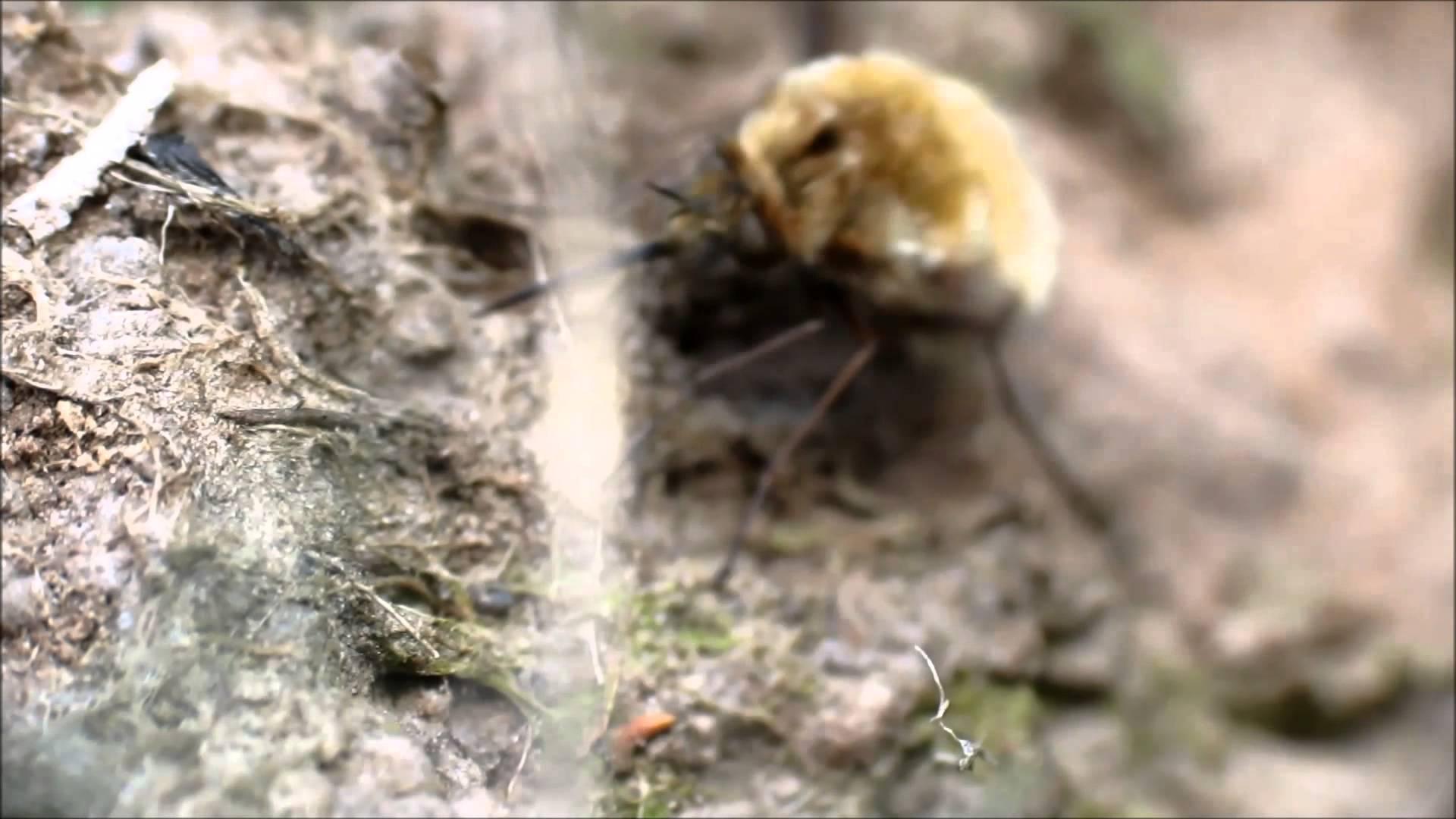 Tiger beetle bee photo