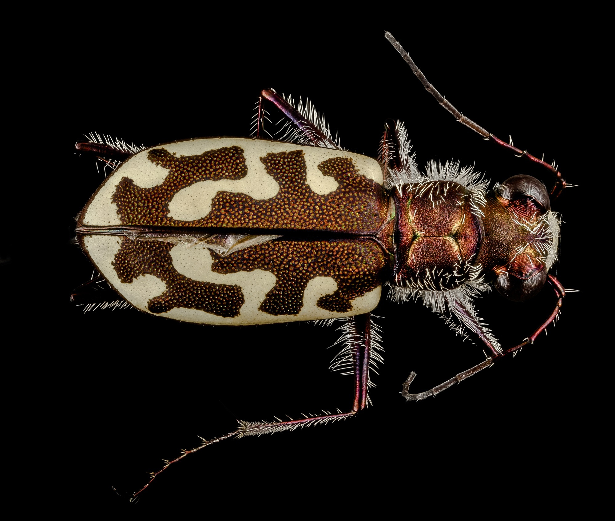 Tiger Beetle, Animal, Beetle, Insect, Nature, HQ Photo