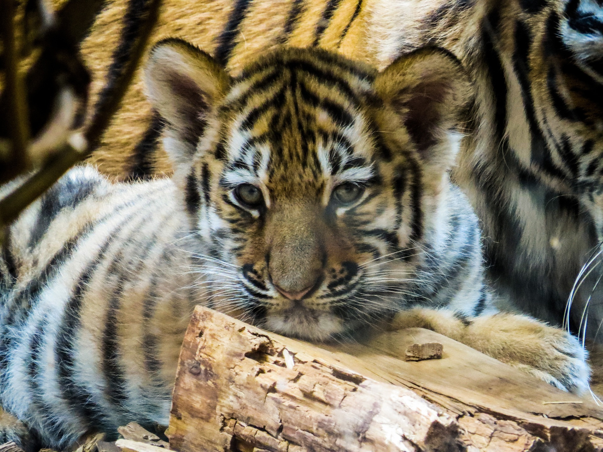 Tiger Cub, Animal, Bengal, Cub, Jungle, HQ Photo