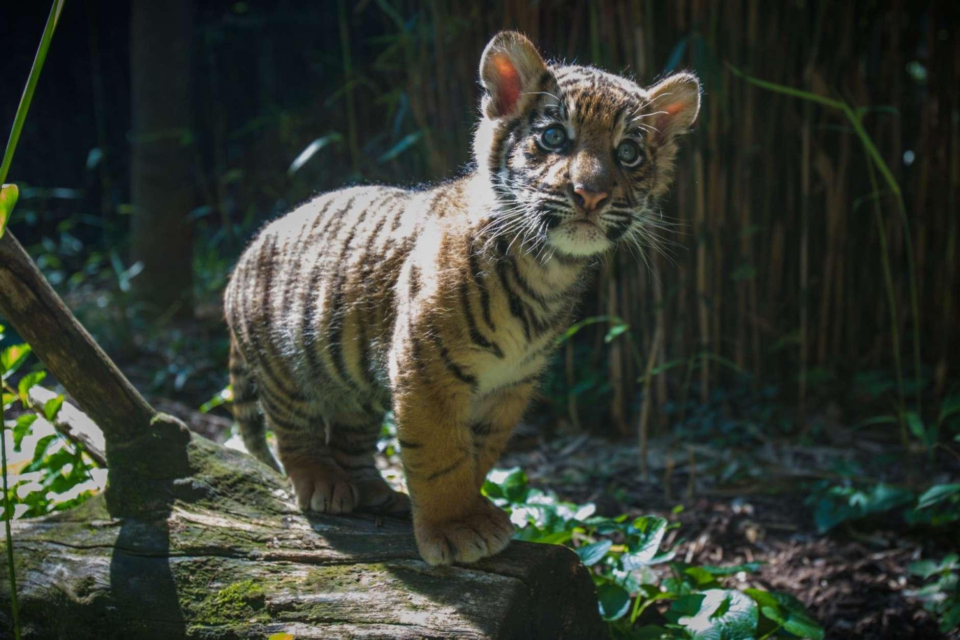 Tiger cub photo