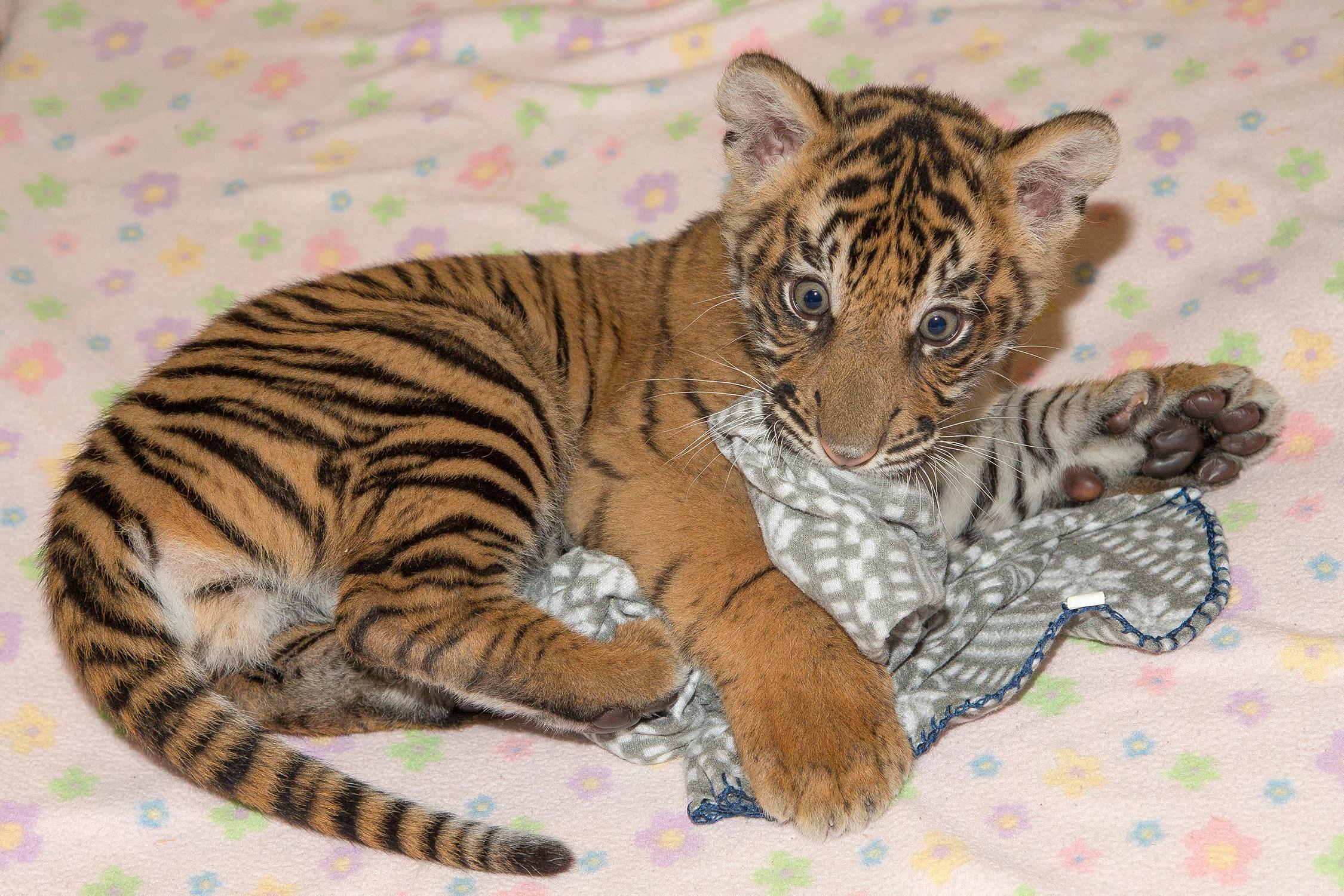 Bengal tiger seized at border crossing and Sumatran tiger cub move ...