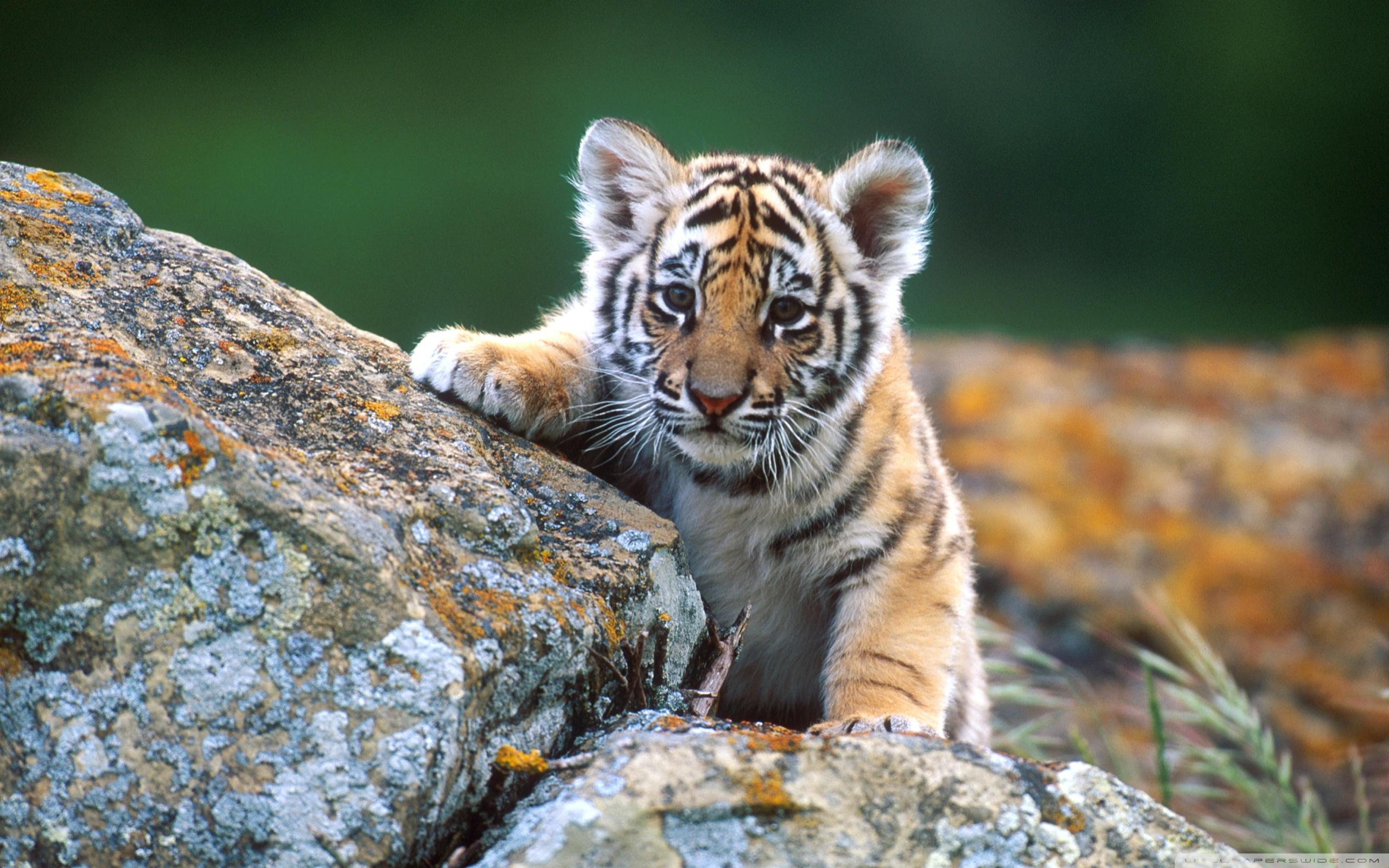 Tiger Cub ❤ 4K HD Desktop Wallpaper for 4K Ultra HD TV • Tablet ...