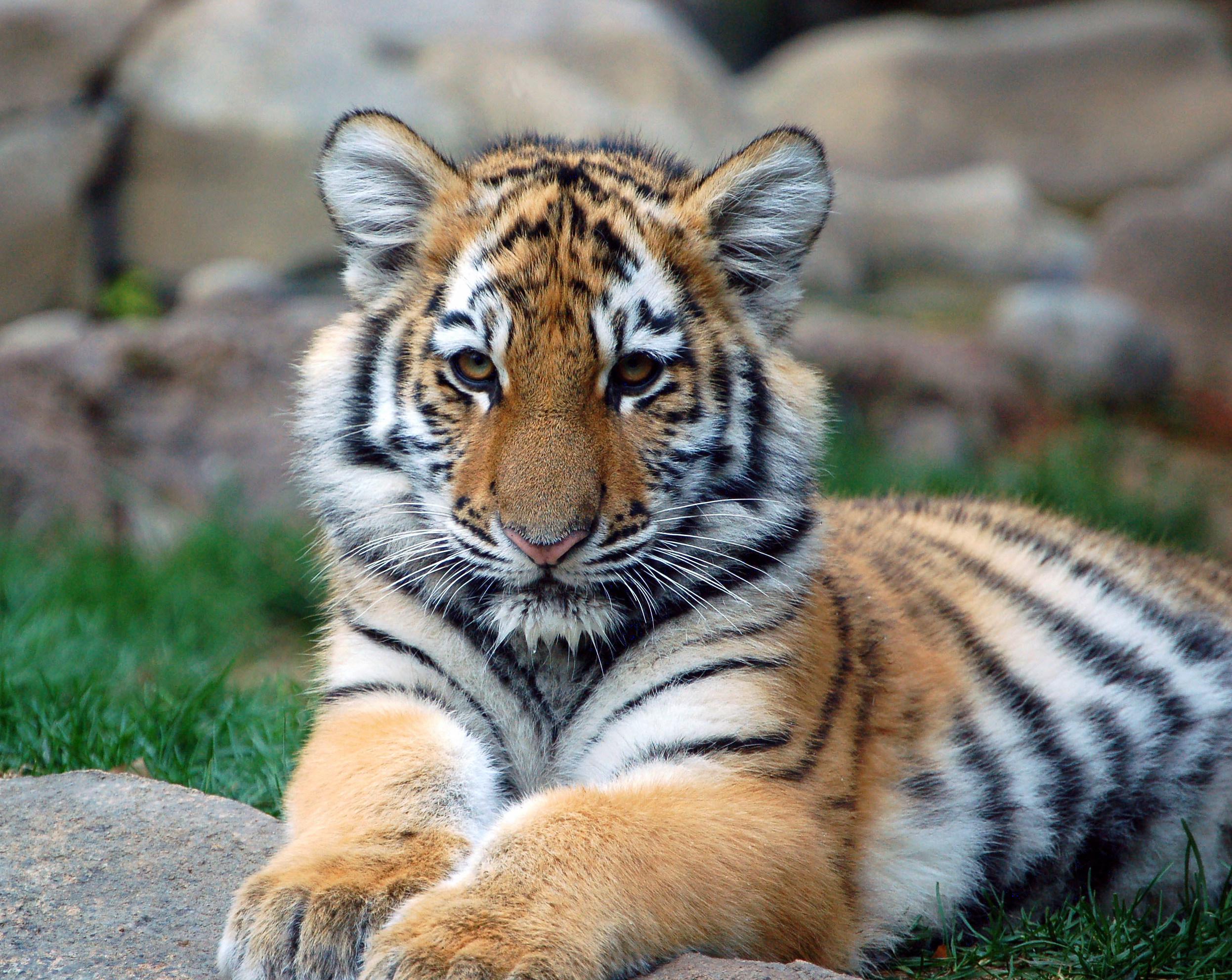 File:Big Tiger Cub.jpg - Wikimedia Commons