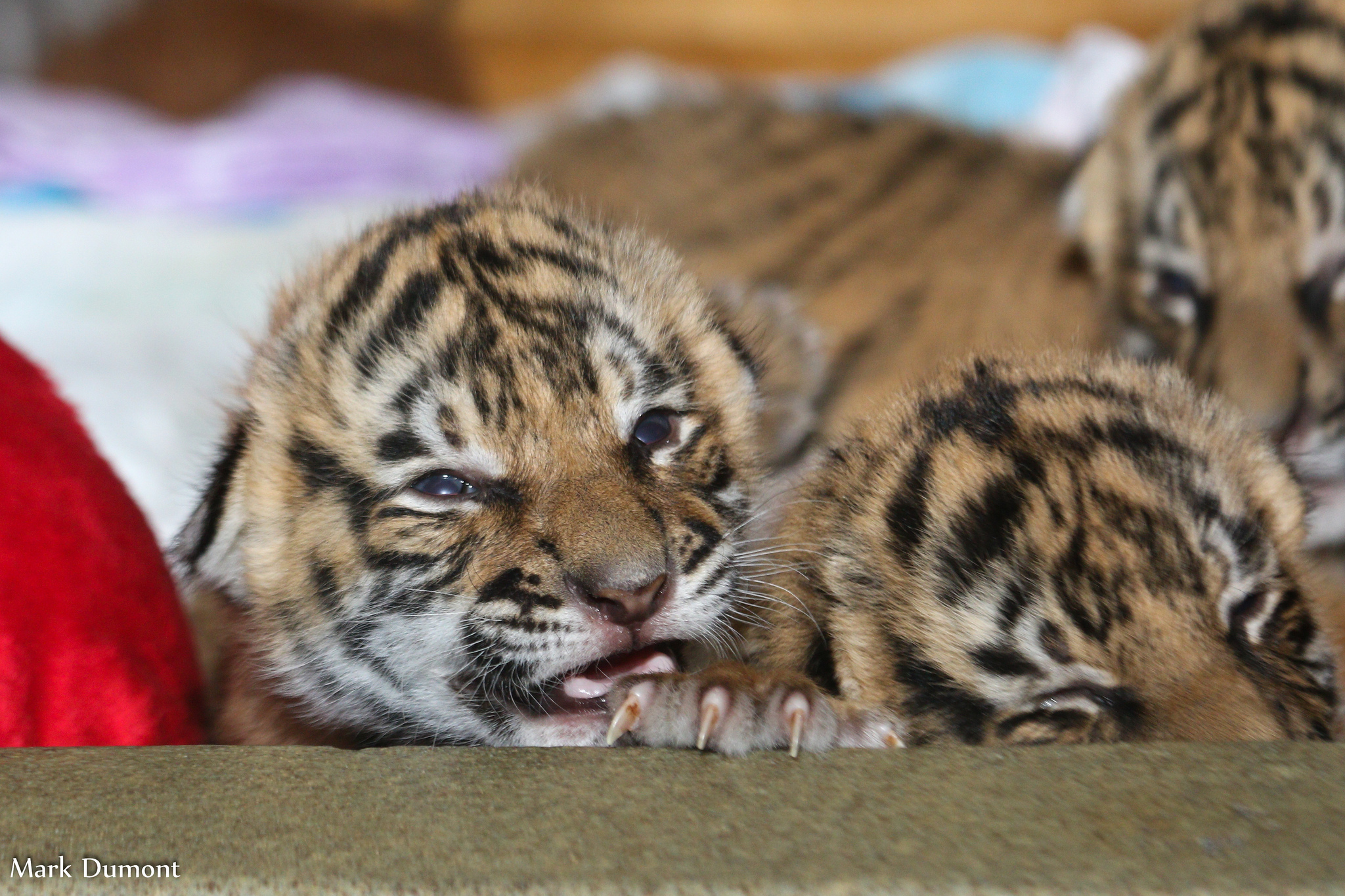 Cincinnati Zoo Tiger Cubs Grrrrowing up Fast - The Cincinnati Zoo ...