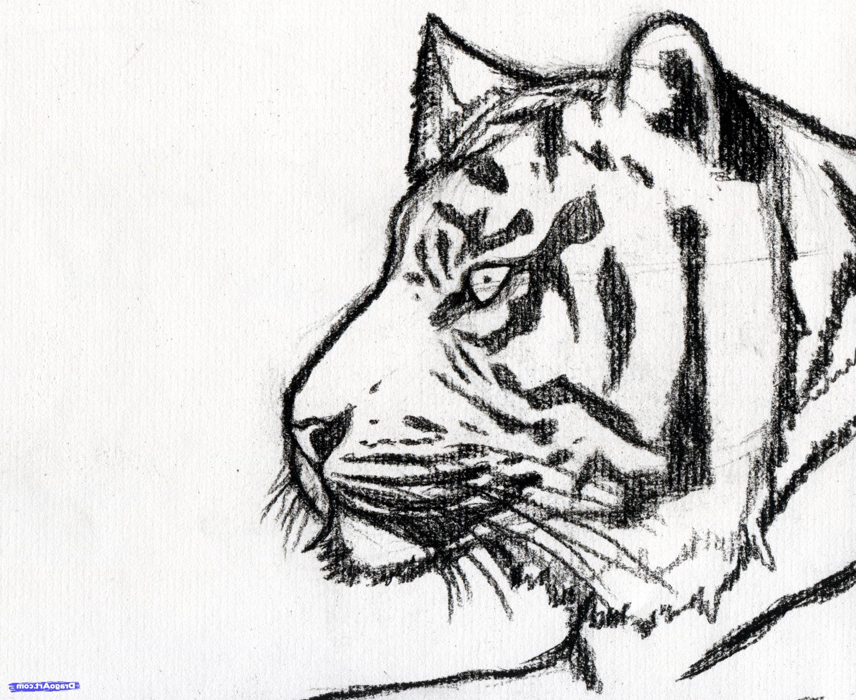 Tiger sketch photo