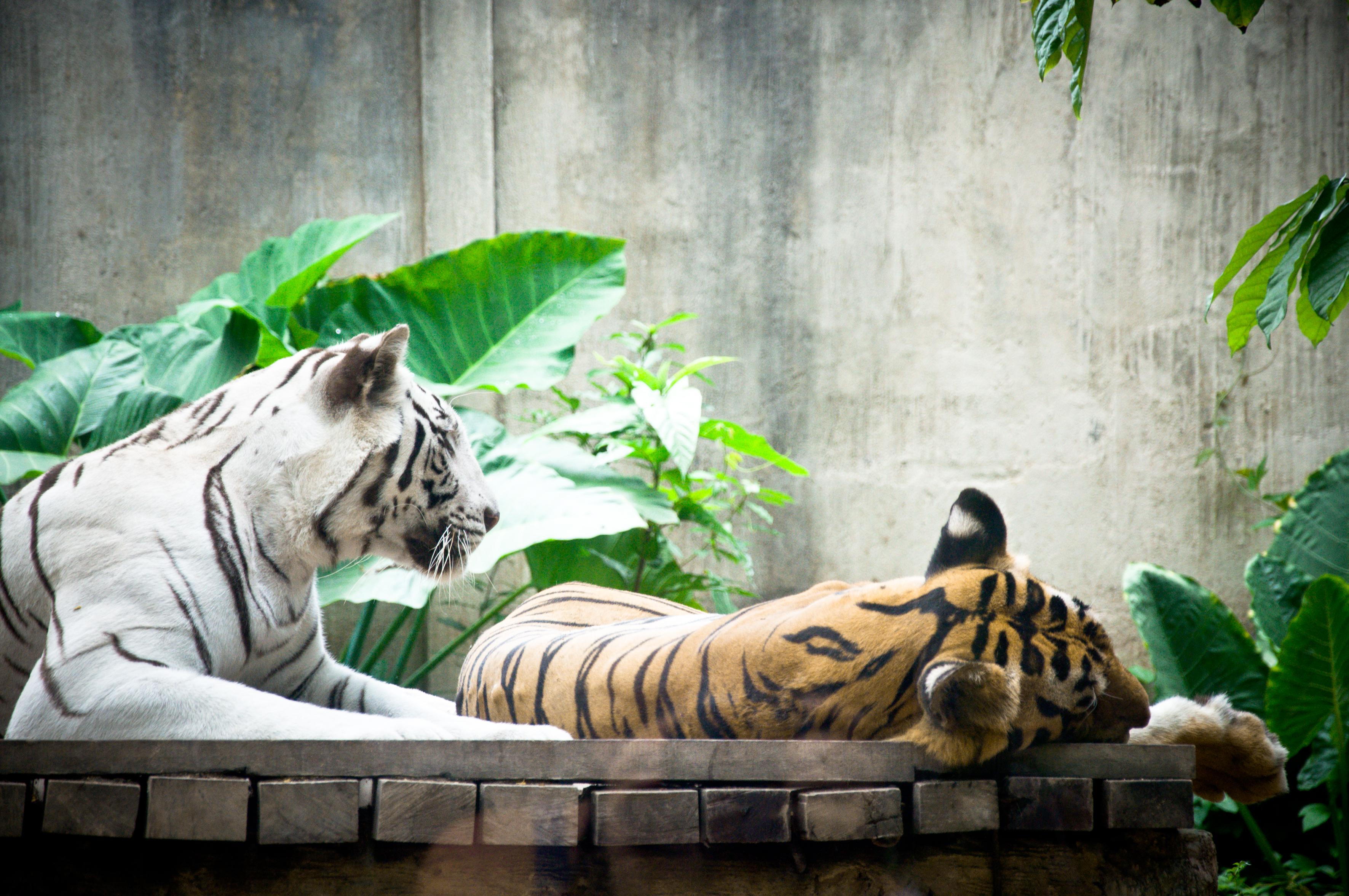 Tigers, Animal, Cat, Feline, Hunter, HQ Photo