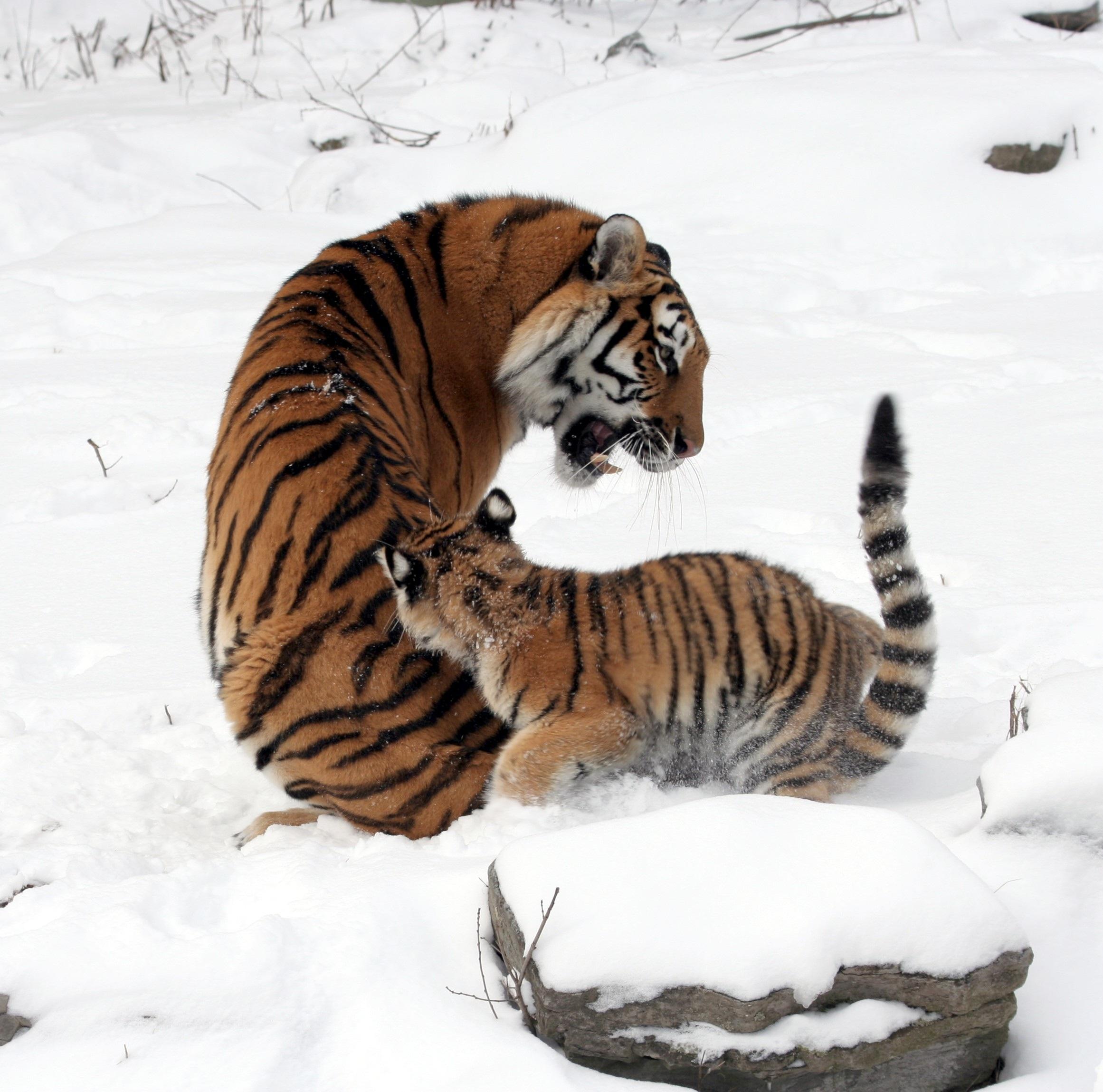 Tigers photo