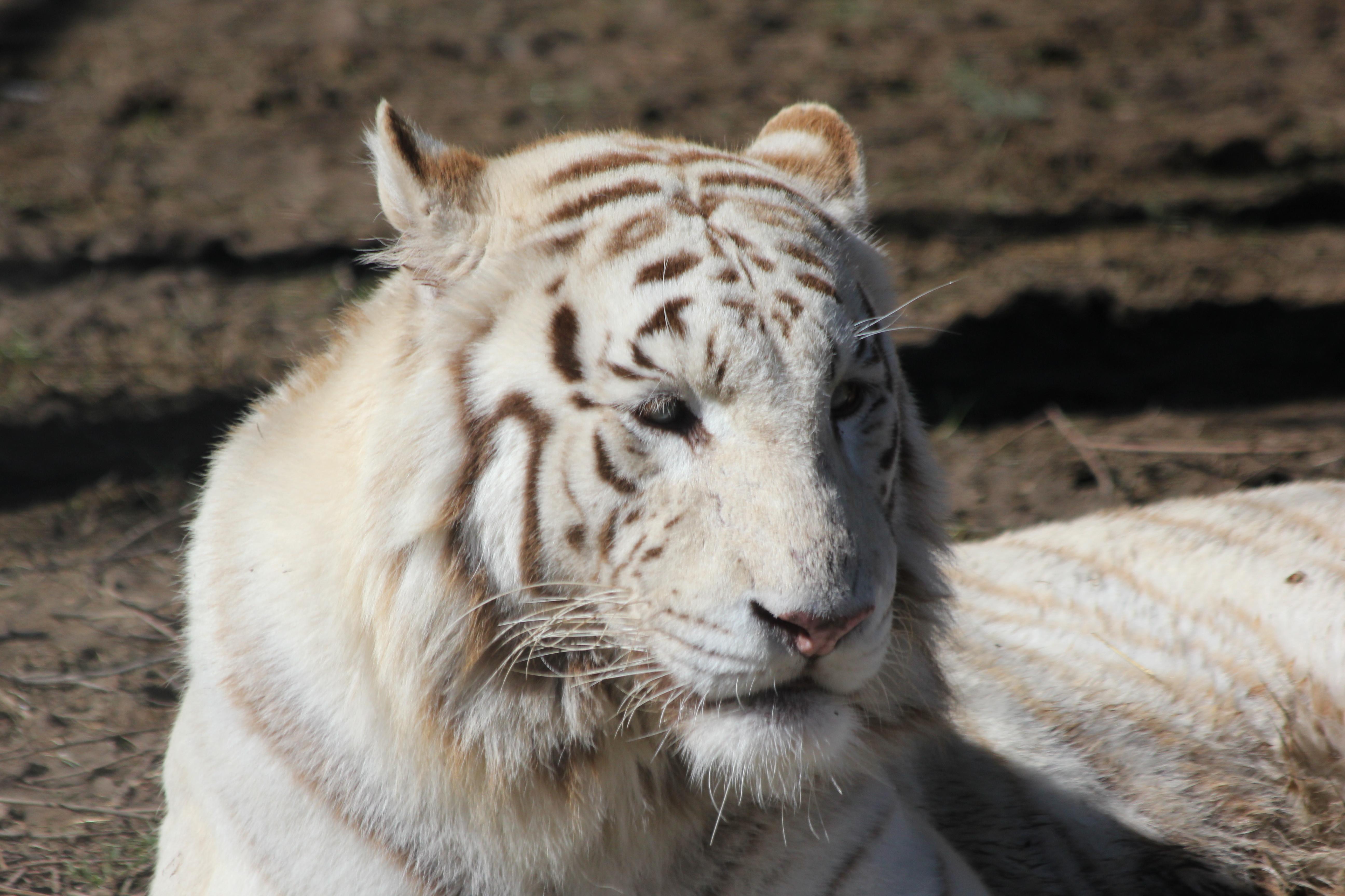 Tigre del bengala photo