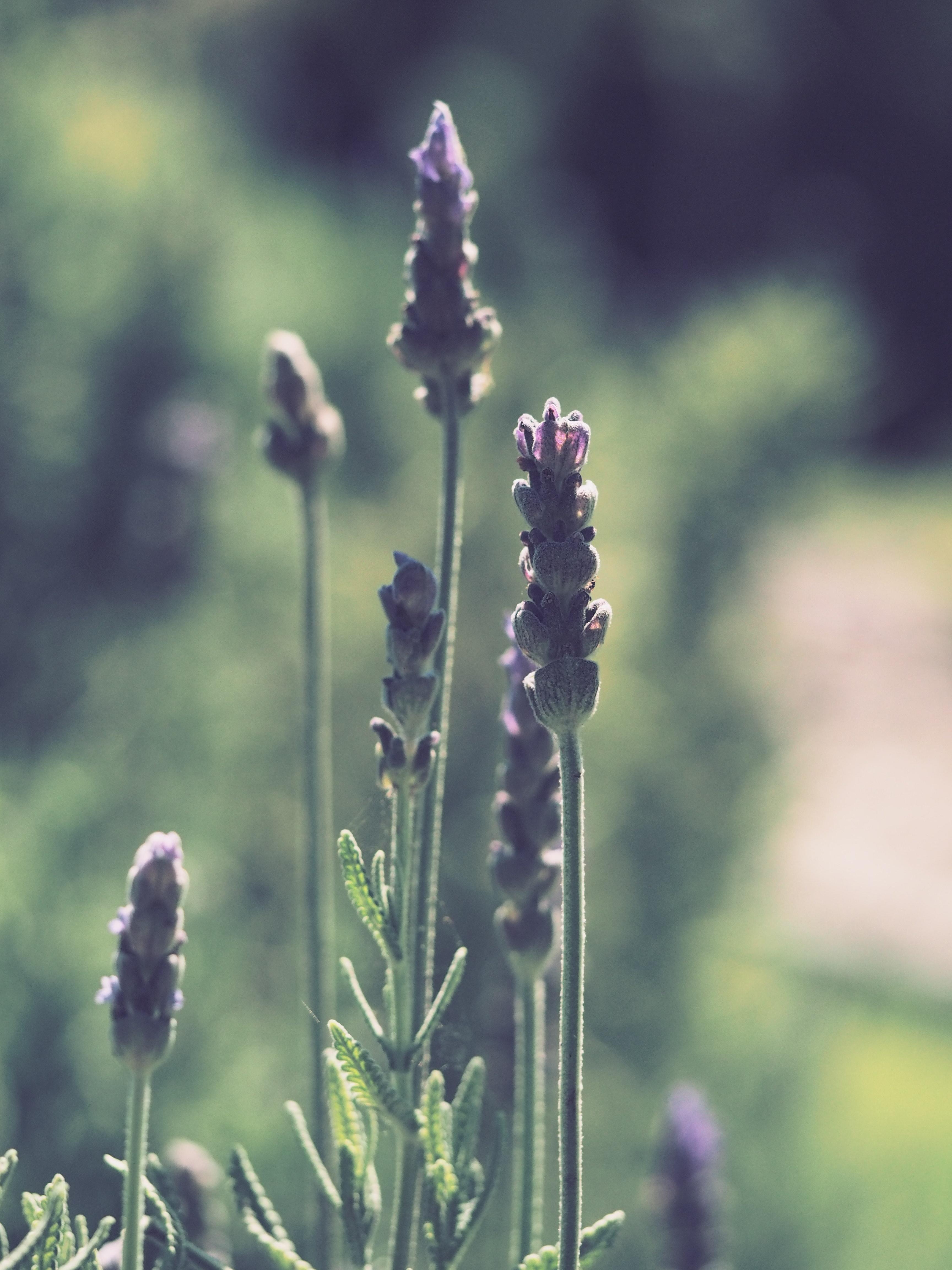 Free photo tilt shift photography of lavender nature nature tilt shift photography of lavender izmirmasajfo
