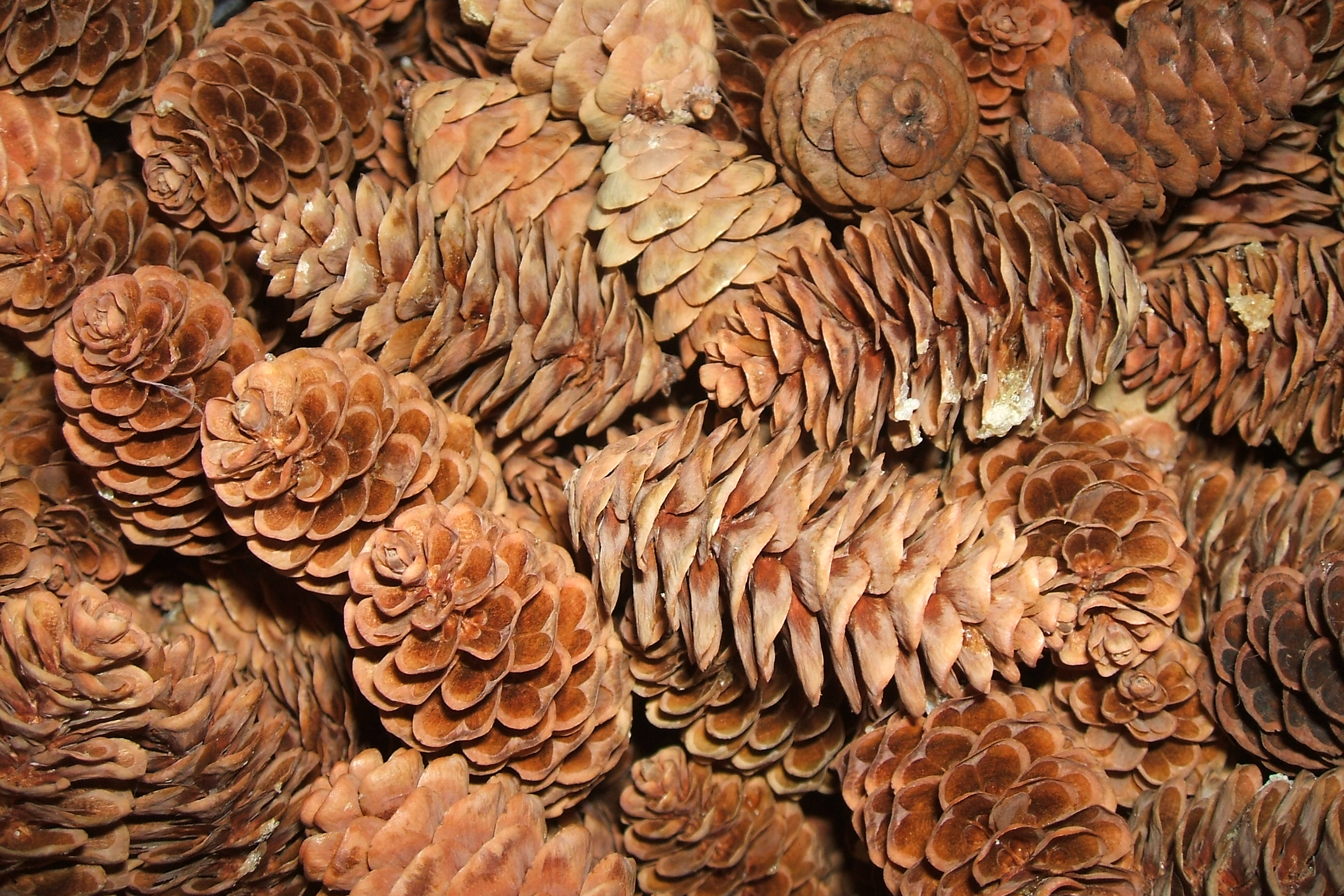 Tiny Pinecones, Brown, Bspo06, Christmas, Pile, HQ Photo