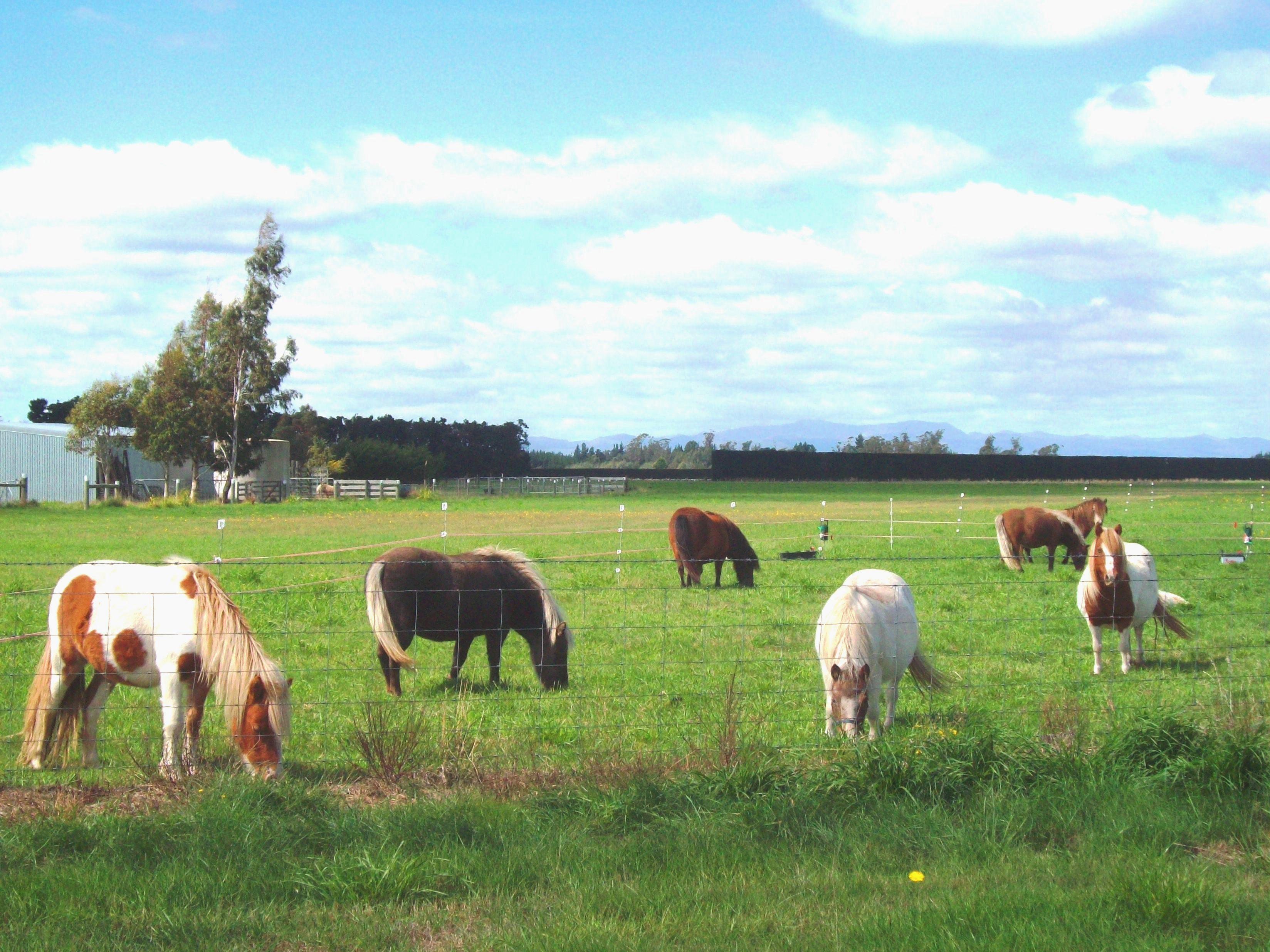 Tiny Ponies - near West Melton, Hoof, Stitching, Seat, Saddle, HQ Photo