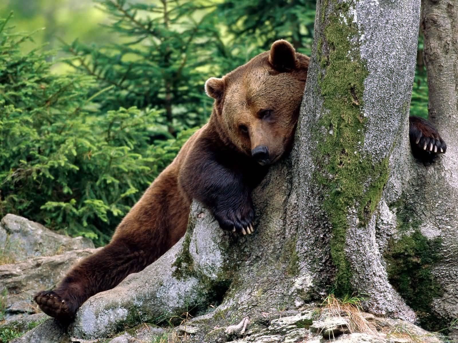 Tired bear photo