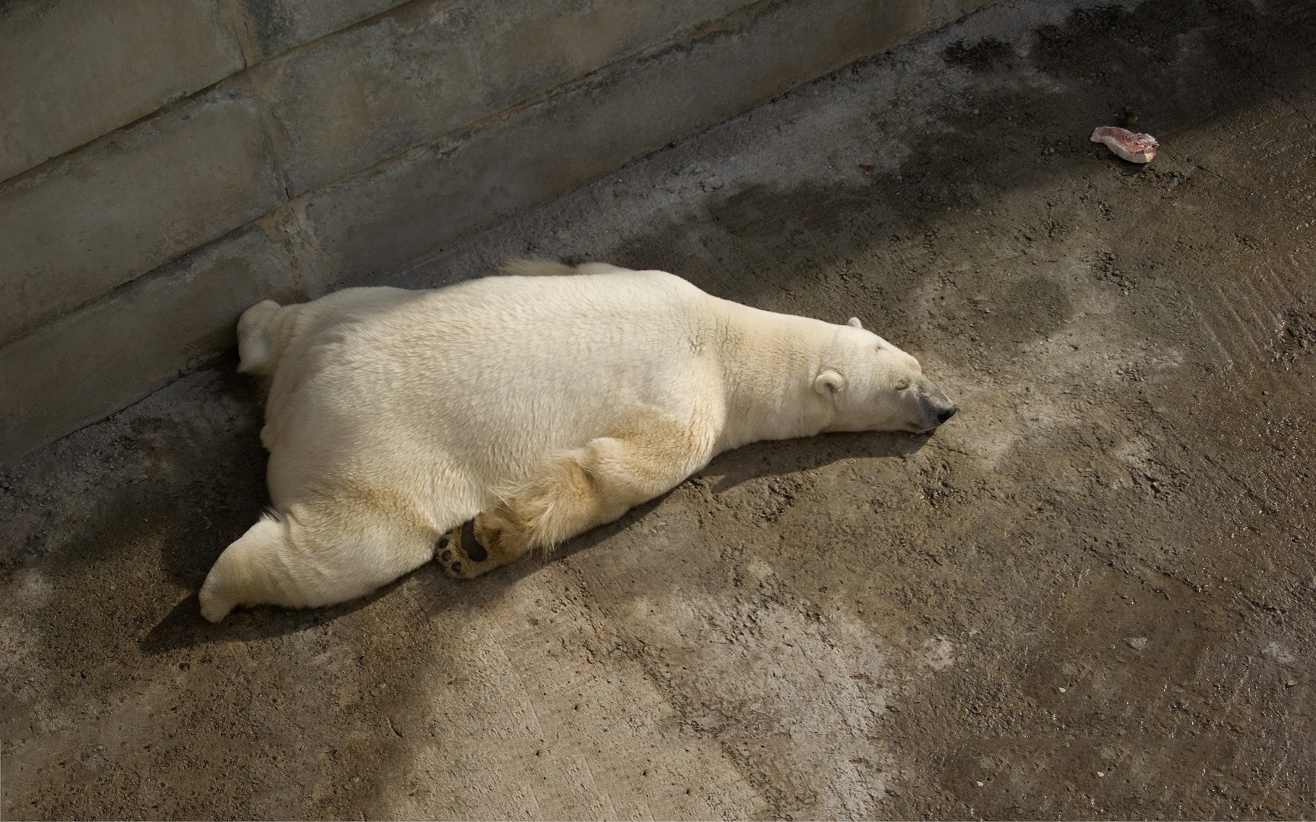 A very tired polar bear : polarbears
