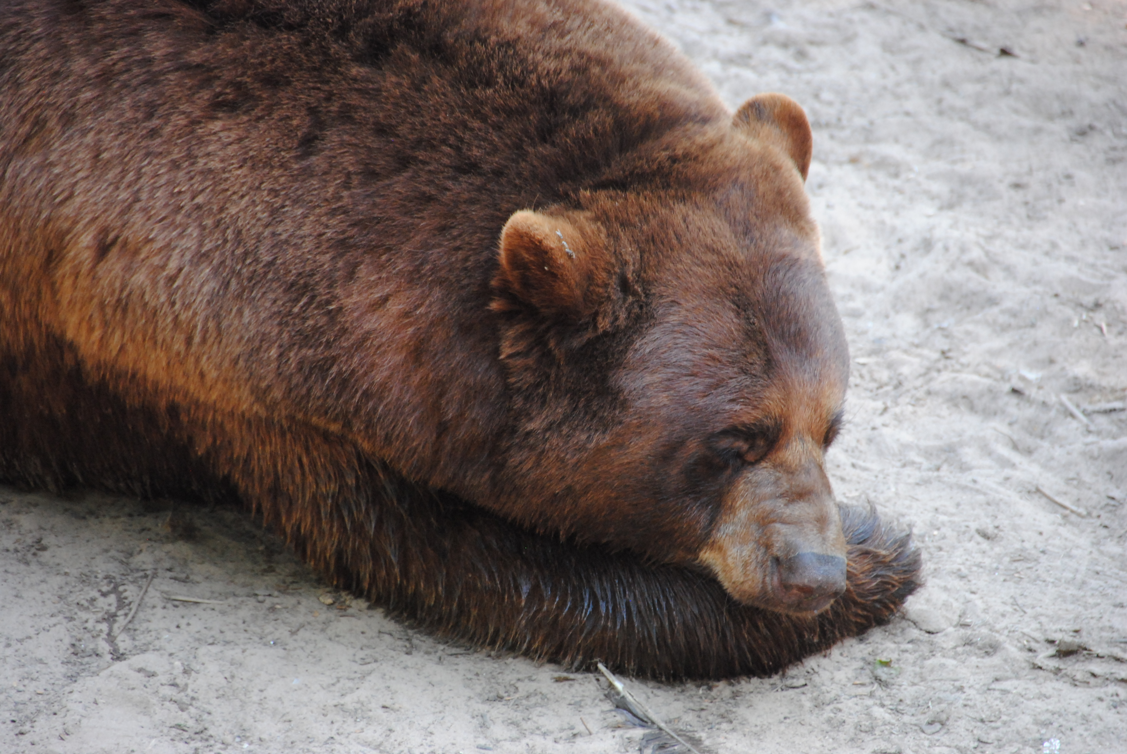 Tired Bear — Weasyl