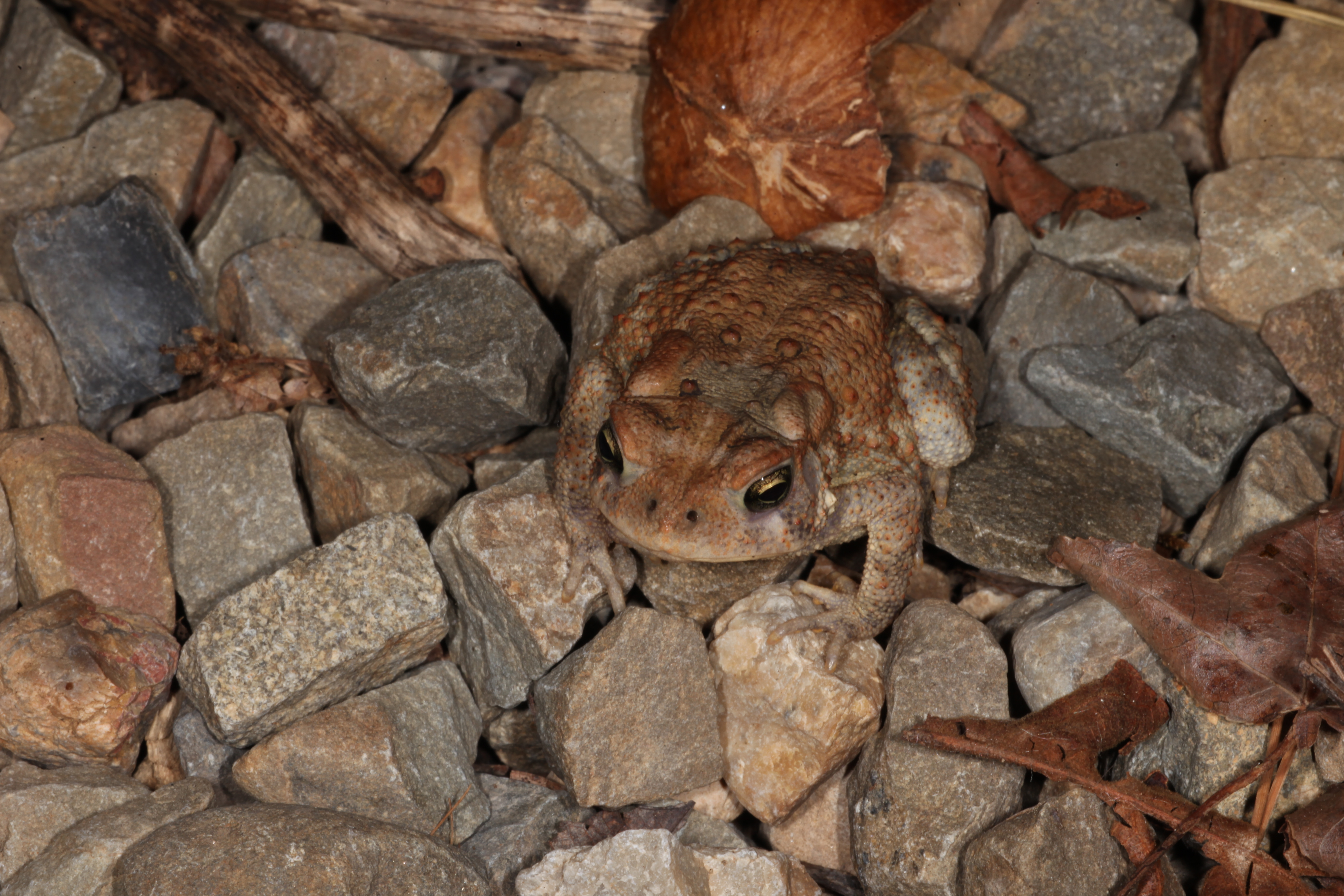 Toad, Amphibian, Blooded, Brown, Bugs, HQ Photo