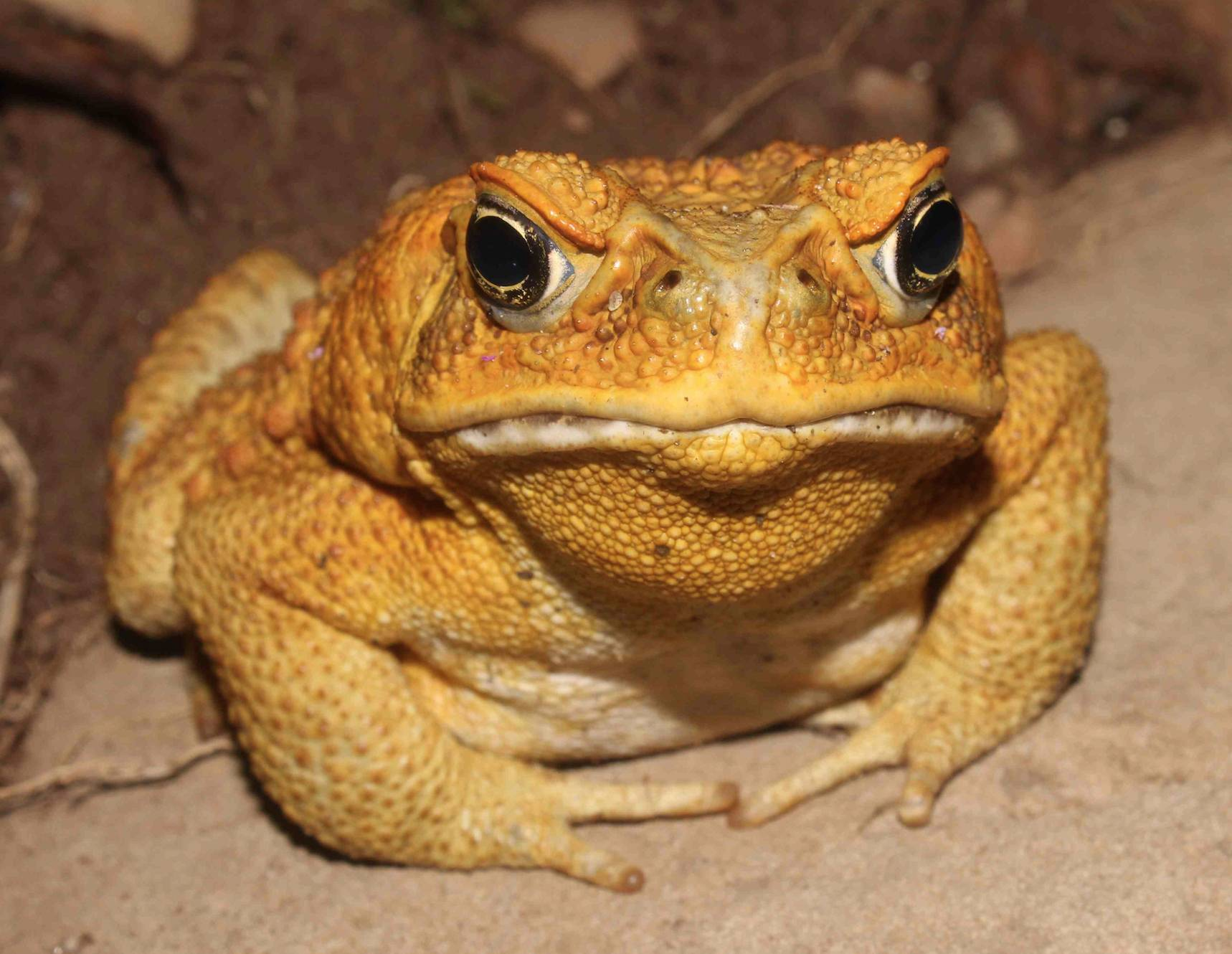 Cane Toad Stowaways