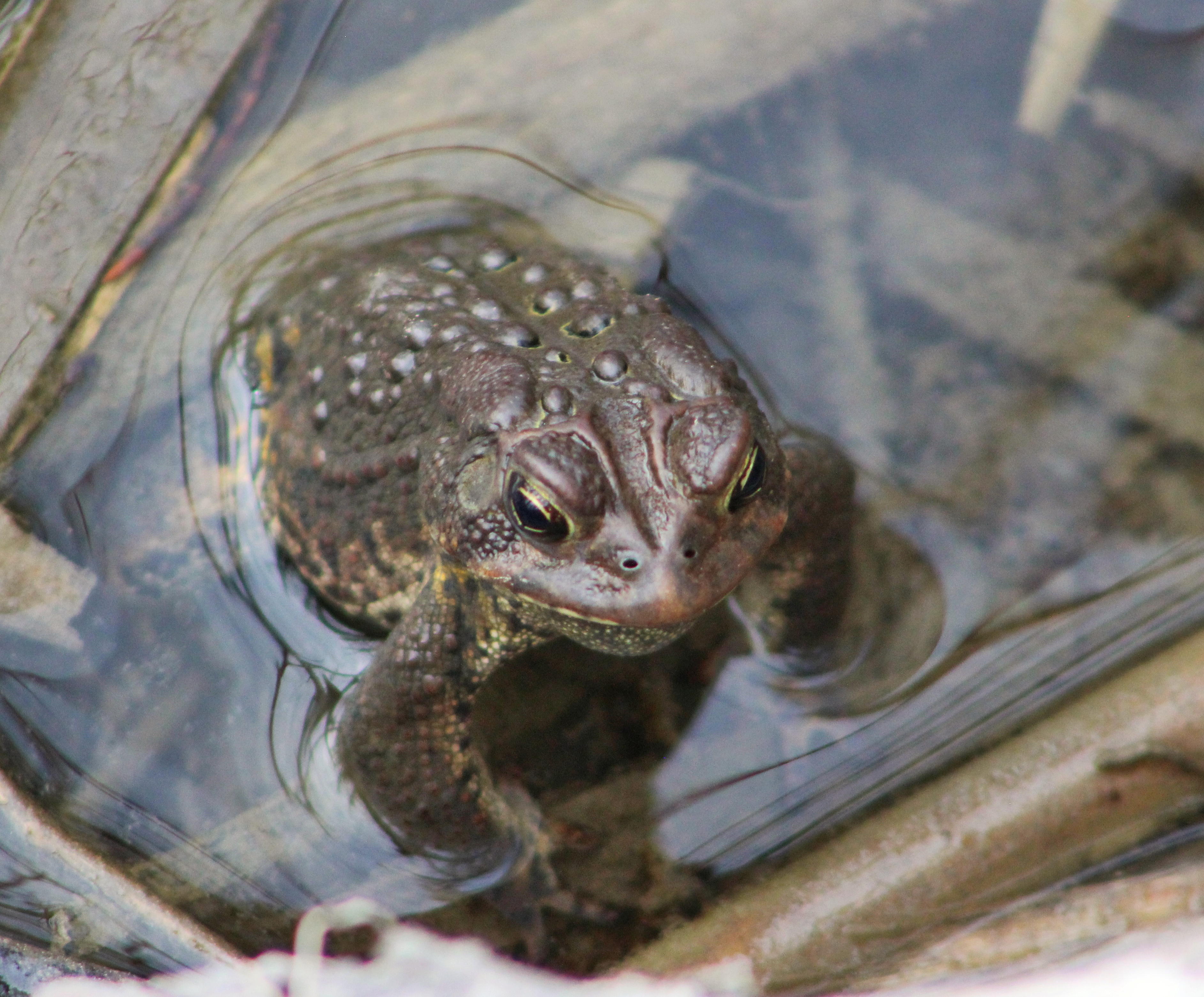 Toad in the hole, Amphibian, Frog, Nature, Ontario, HQ Photo