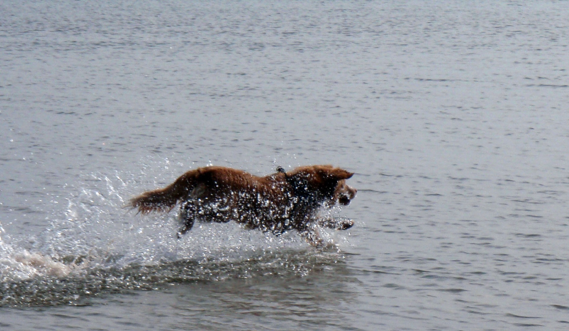 Toller in the lake photo