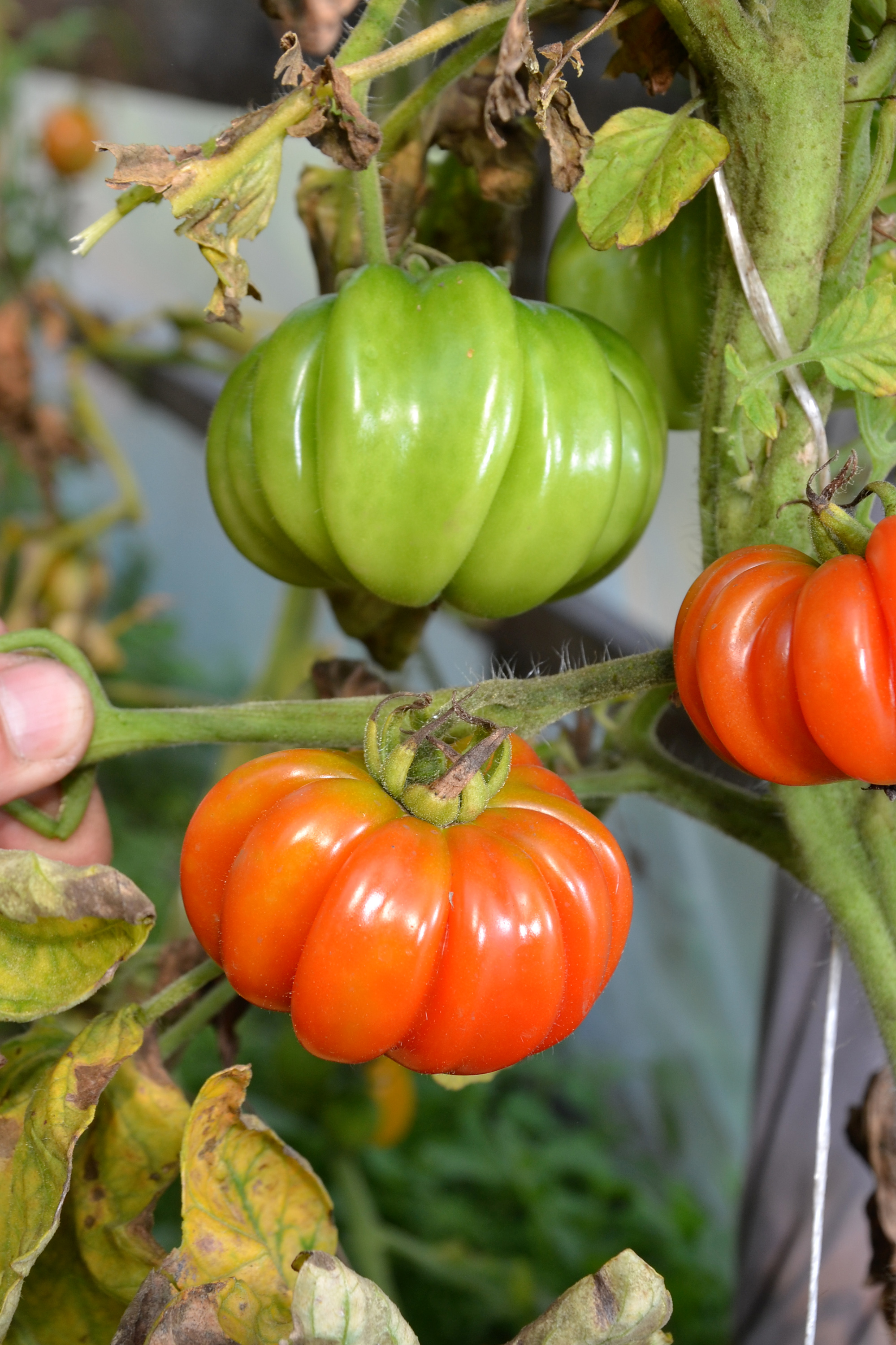 Tomatoes, Agricultural, Ripening, Plant, Plants, HQ Photo