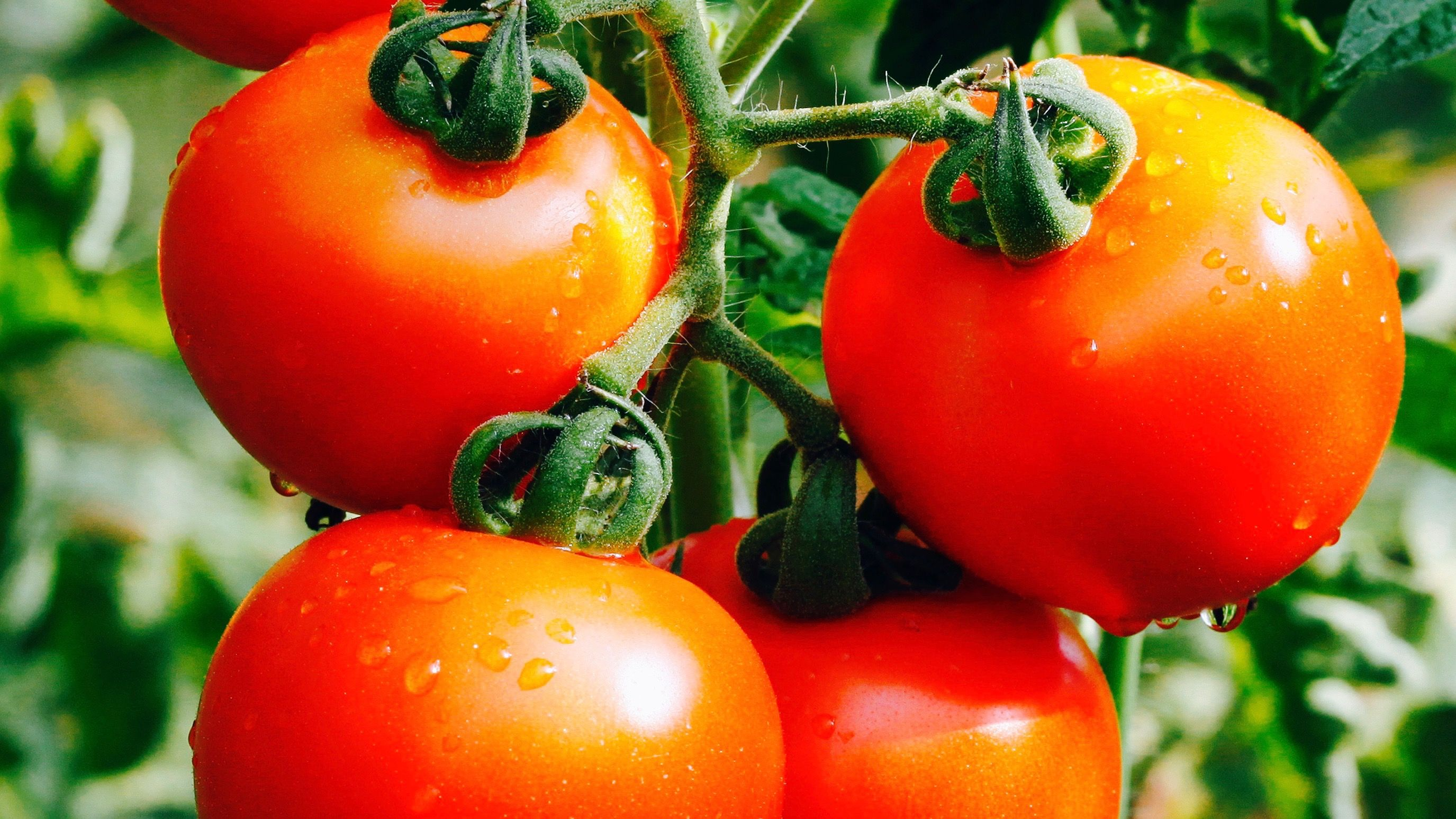 Geneticists edited tomato mutations with CRISPR tech — Quartz