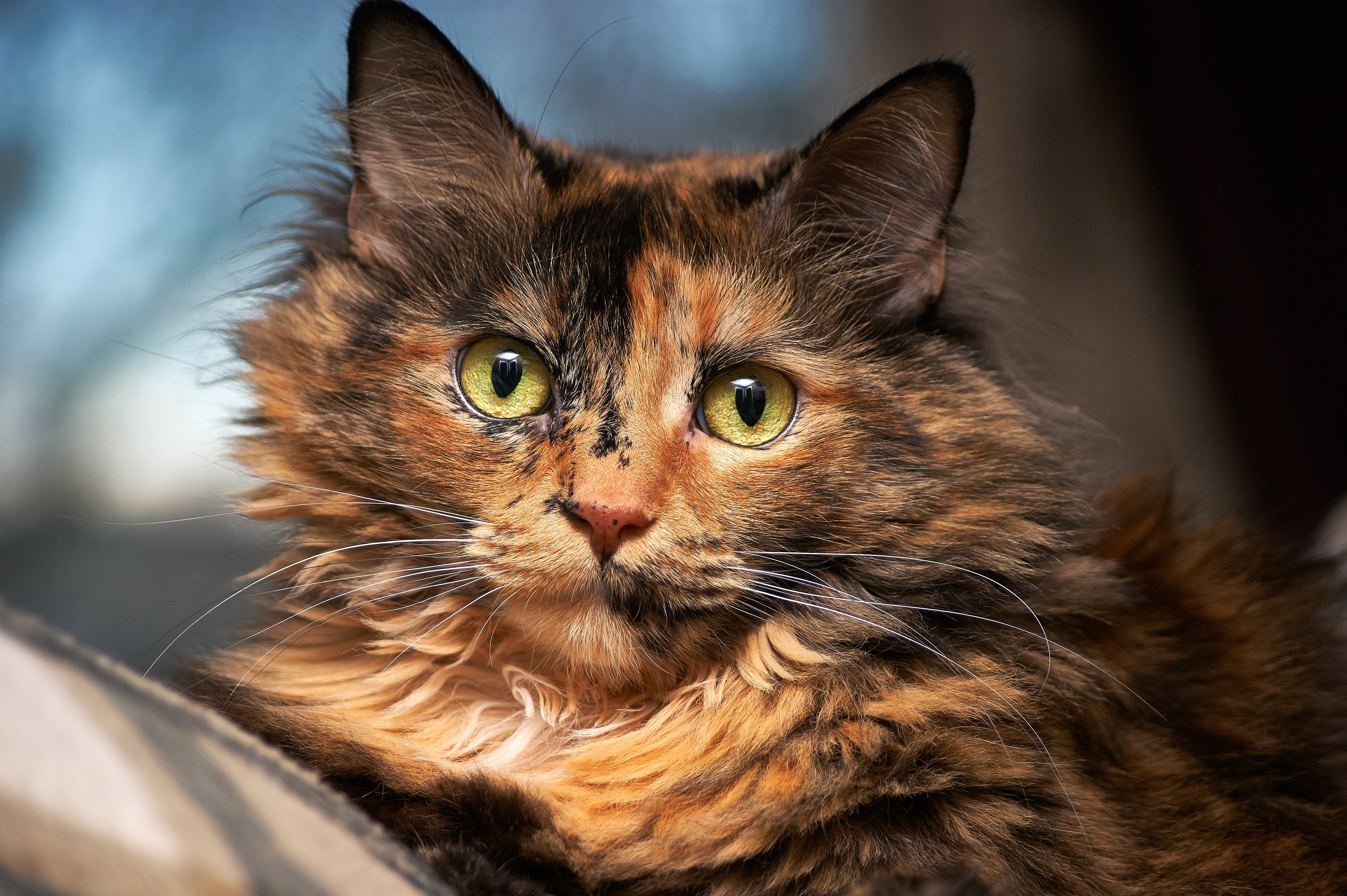 Tortoiseshell Cat in Selective Focus Photography, Animal, Cat, Cute, Domestic, HQ Photo