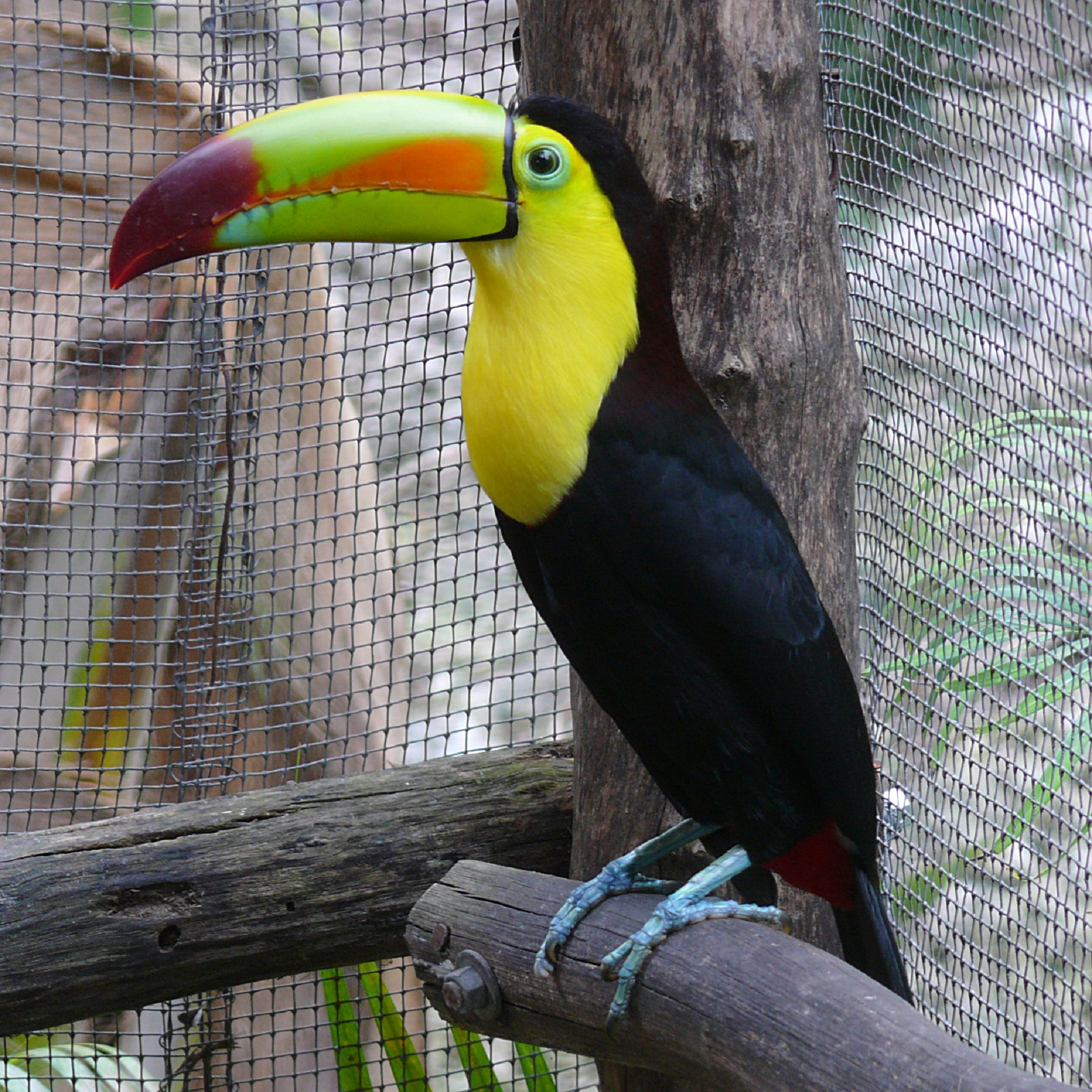 Toucan in the zoo photo