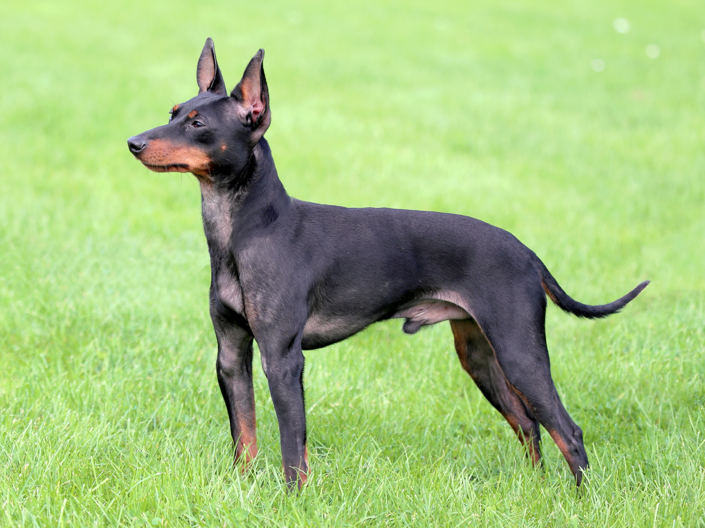 English Toy Terrier - Krmivo Brit