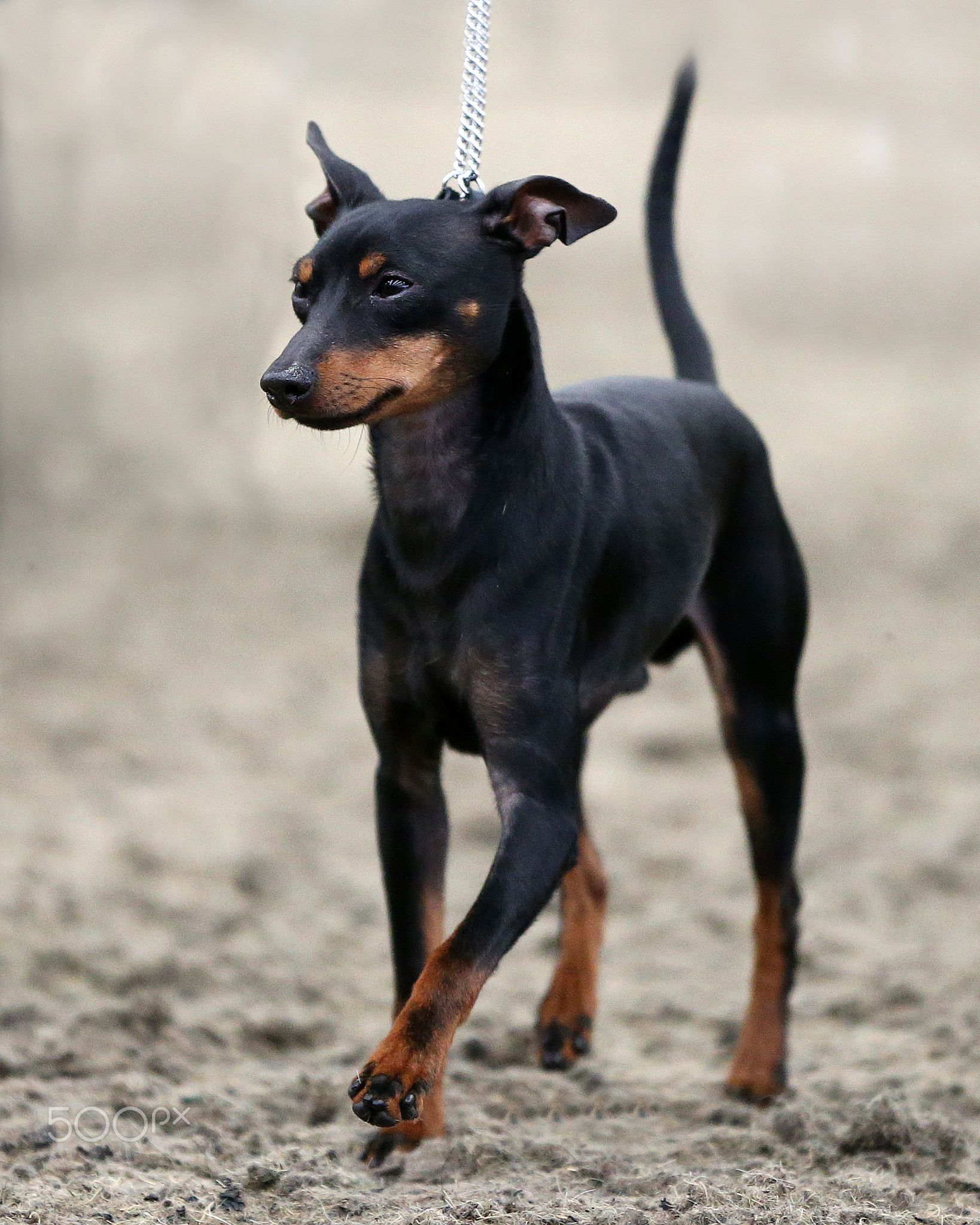 English Toy Terrier - English Toy Terrier | Х English Toy Terrier ...