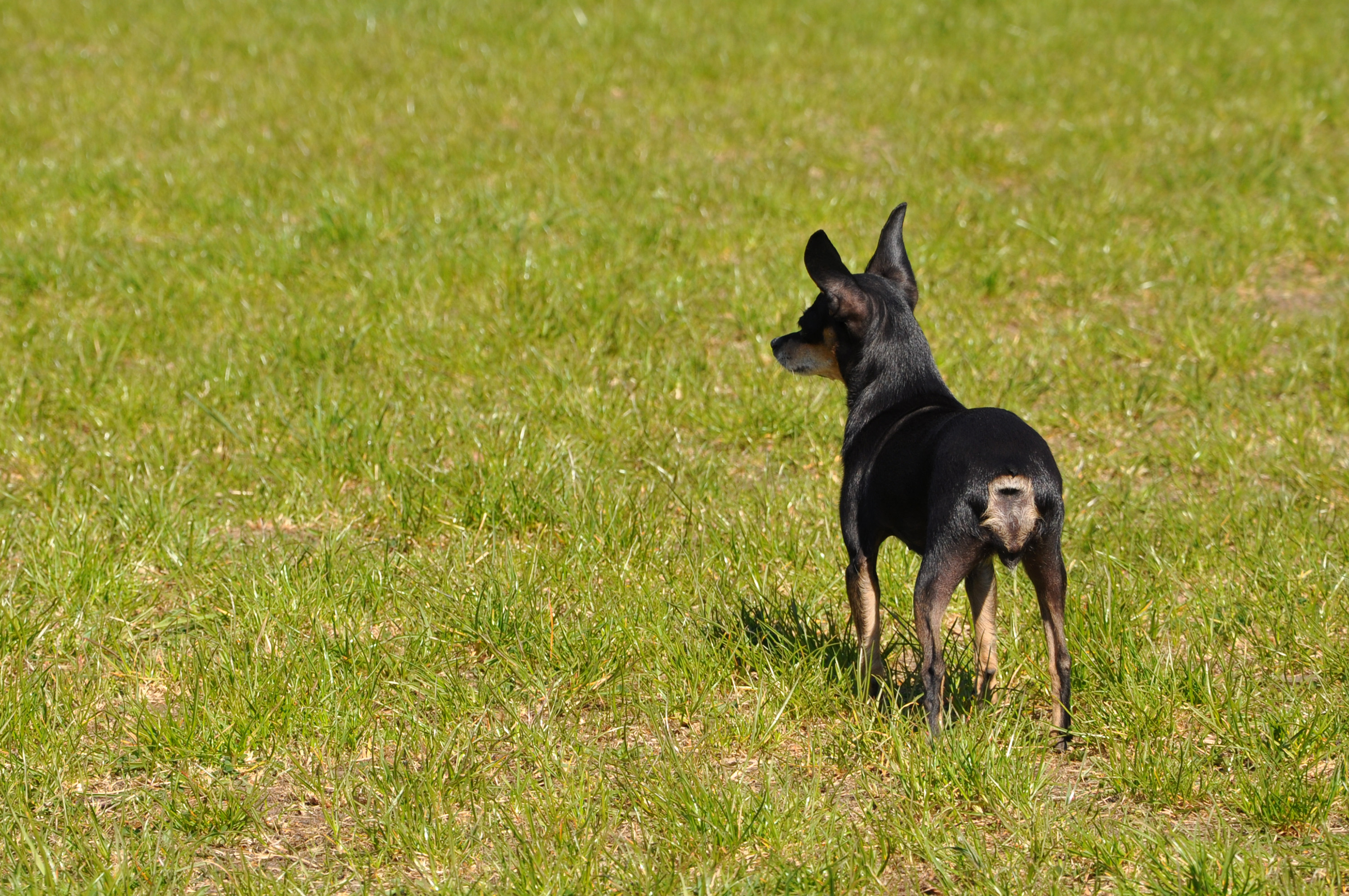 Toy terrier, Animal, Little, Tiny, Terrier, HQ Photo