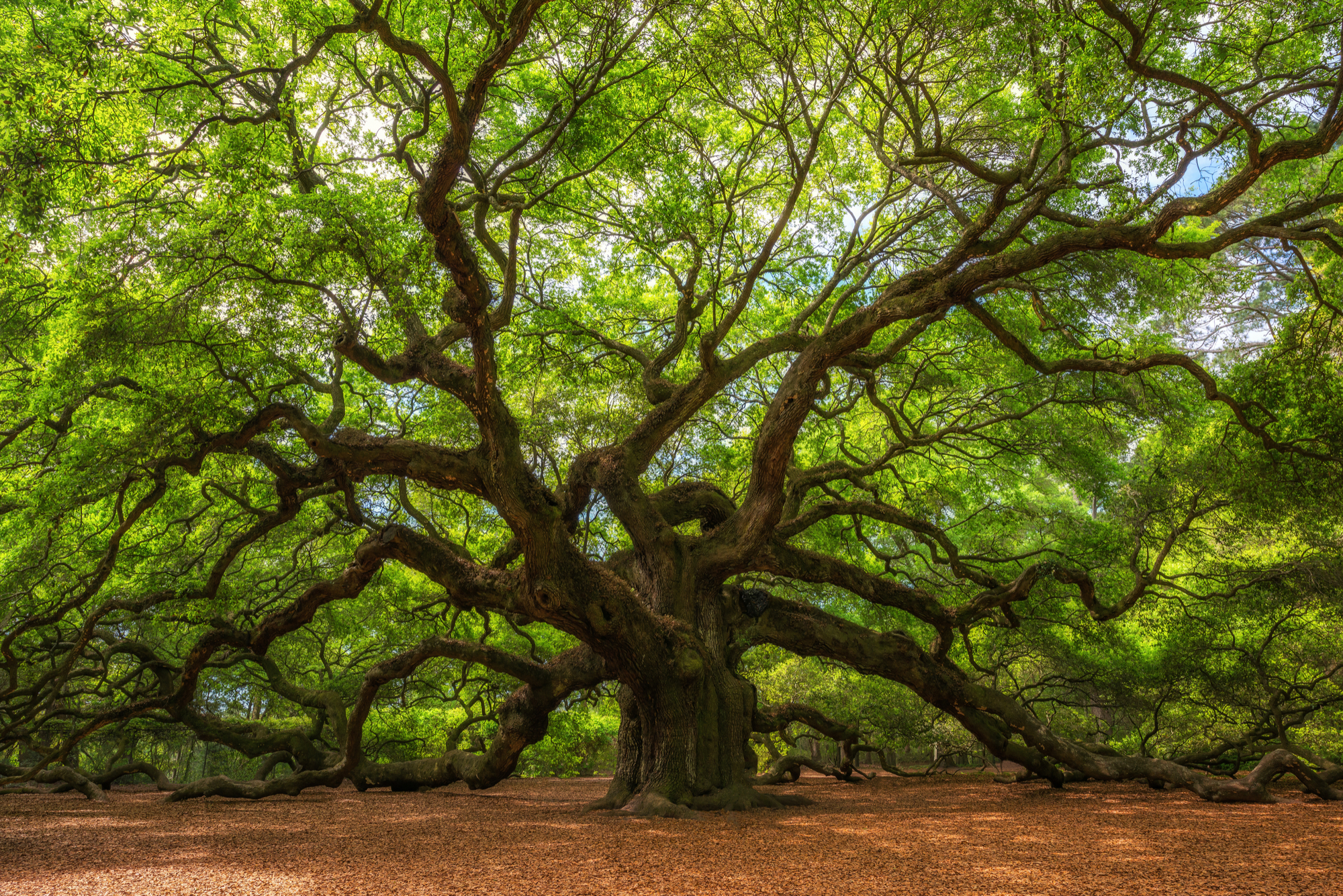 Can I Install Artificial Grass Under Oak Trees? (Pros & Cons ...