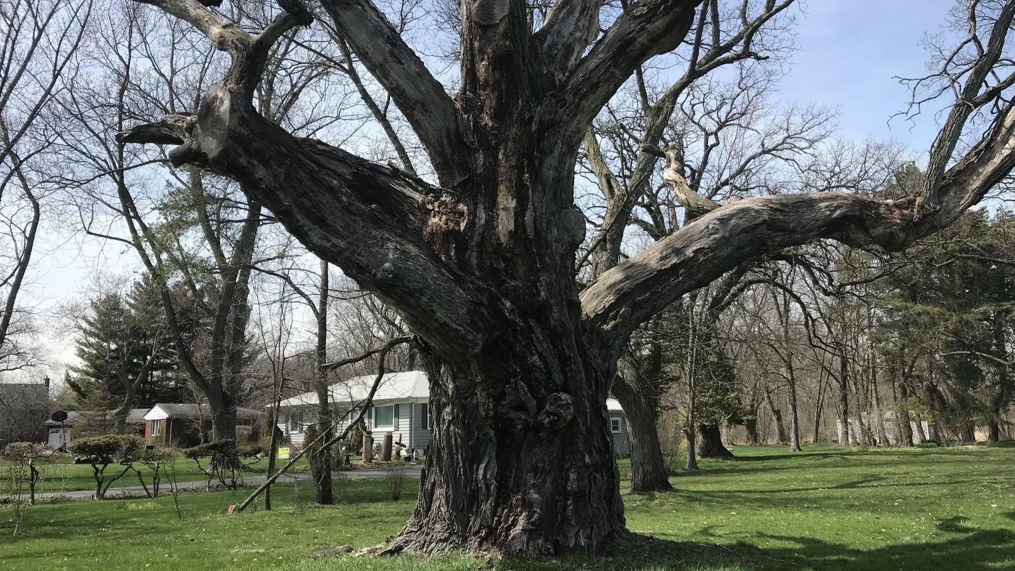 Lake County's oldest tree is dying a slow death and people 'can't ...
