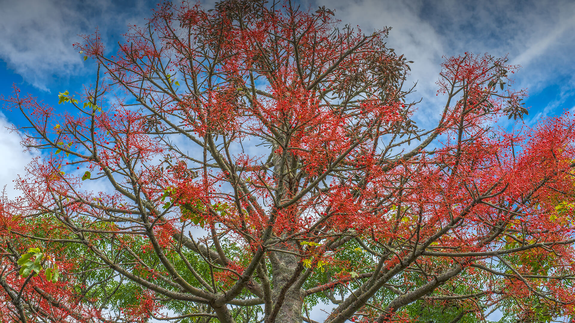 Australian Flame Tree | San Diego Zoo Animals & Plants