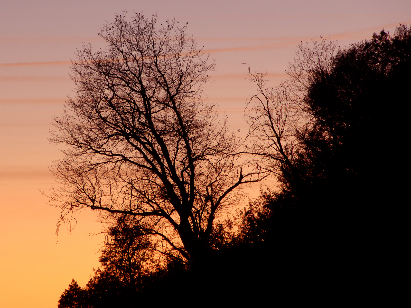 Tree at dusk in sequoia national park (i photo