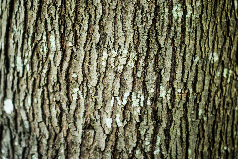 Maple Tree Bark | Alpine Tree Care