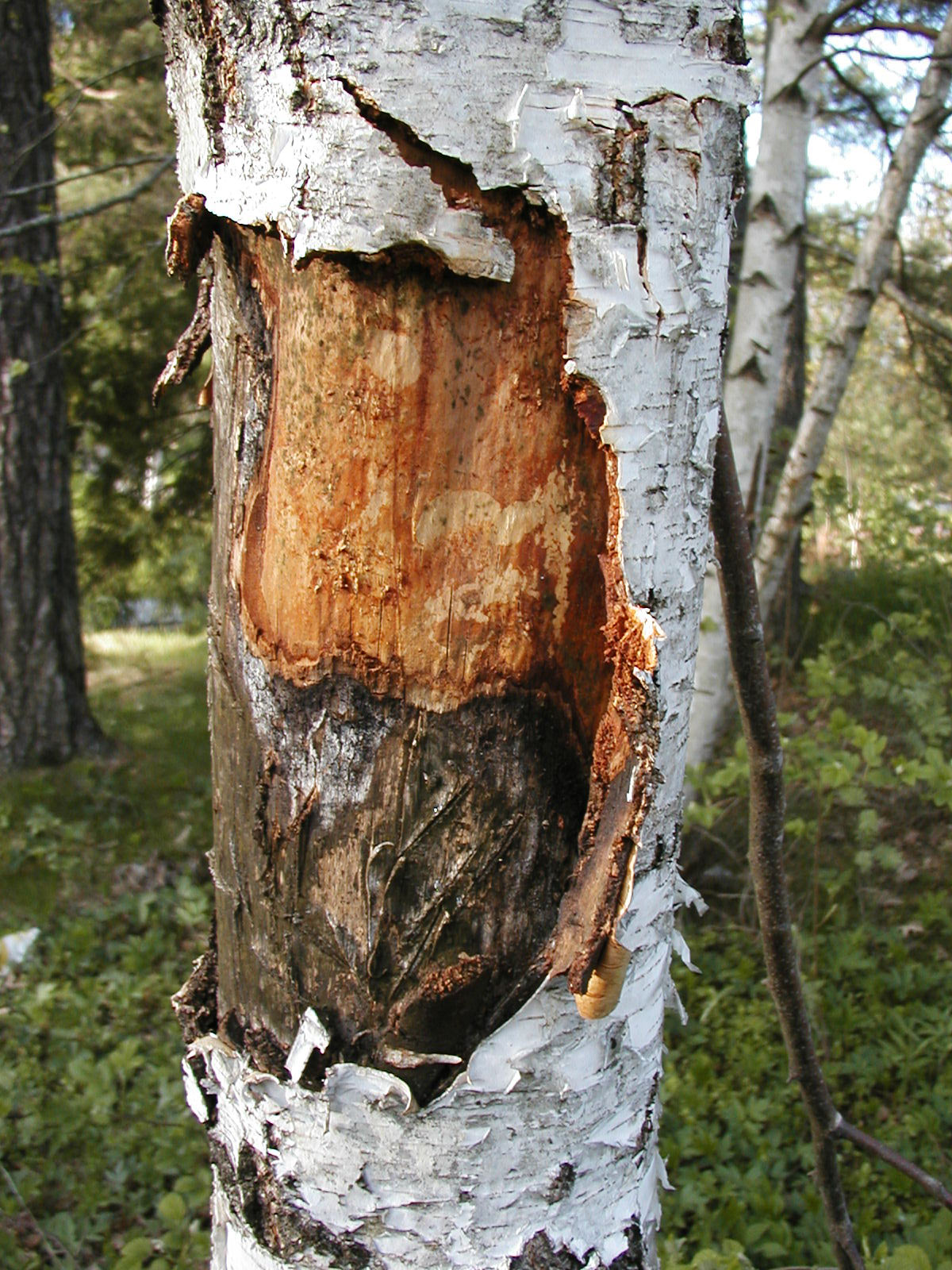 Tree bark, Bark, Cut, Open, Plant, HQ Photo