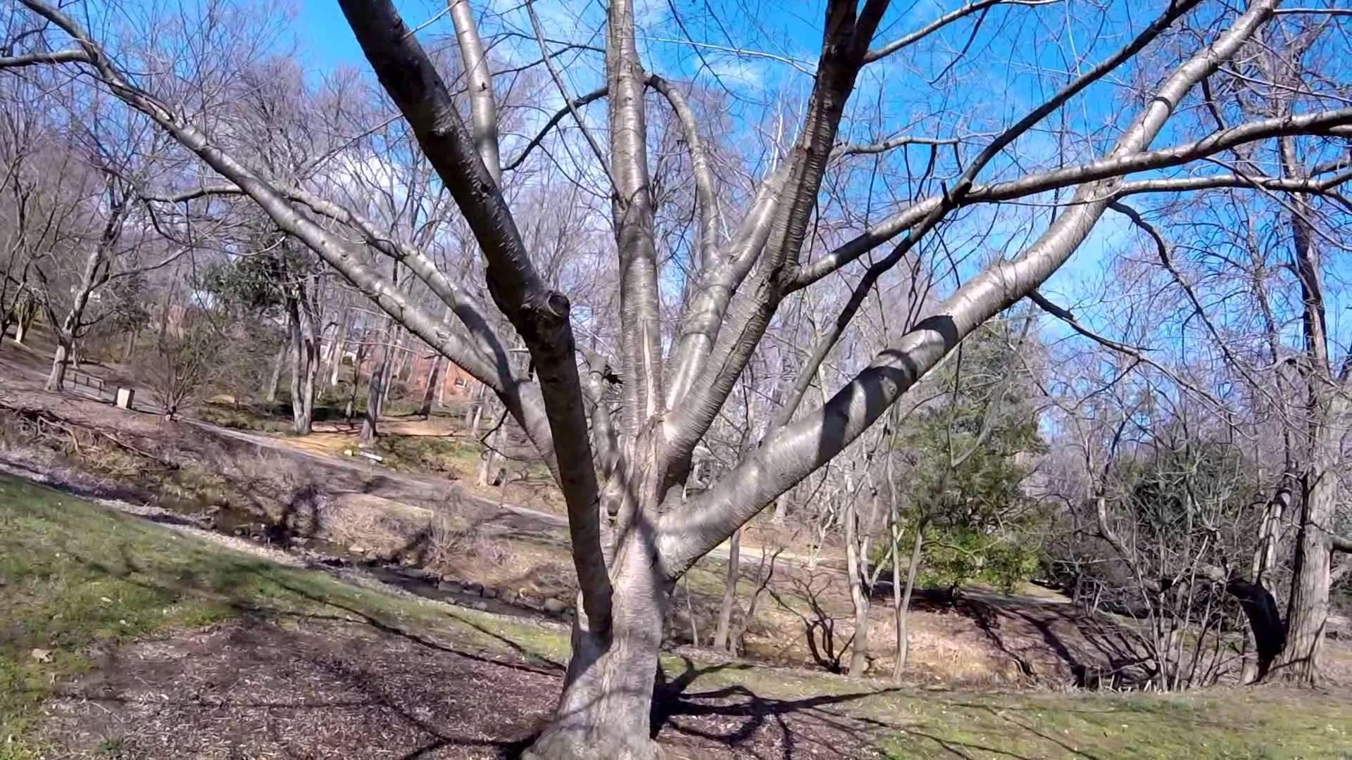 Why is my Tree's Bark Splitting? South West Bark Split! - YouTube