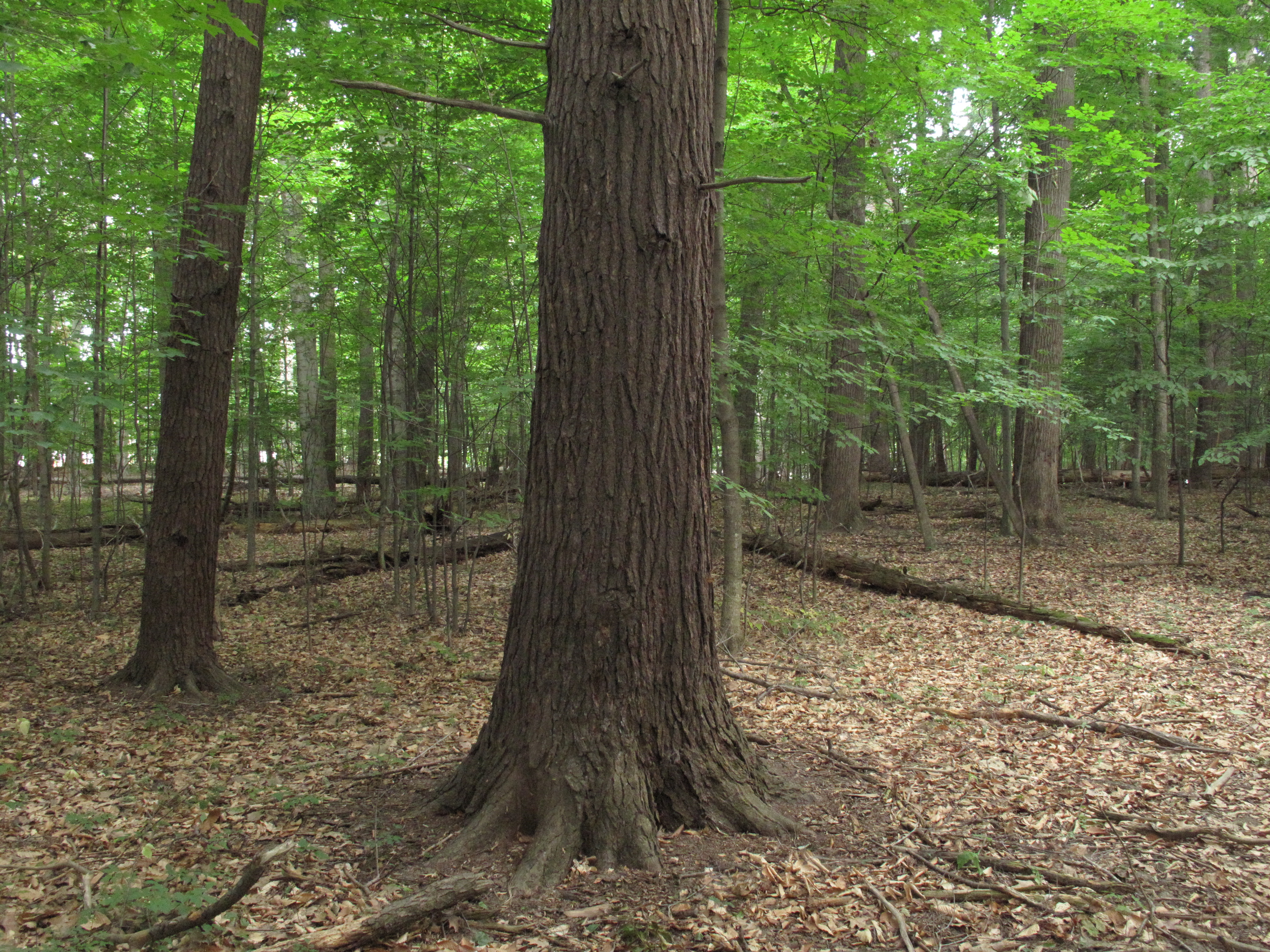 Smith Woods Old Growth | Walk in the Park